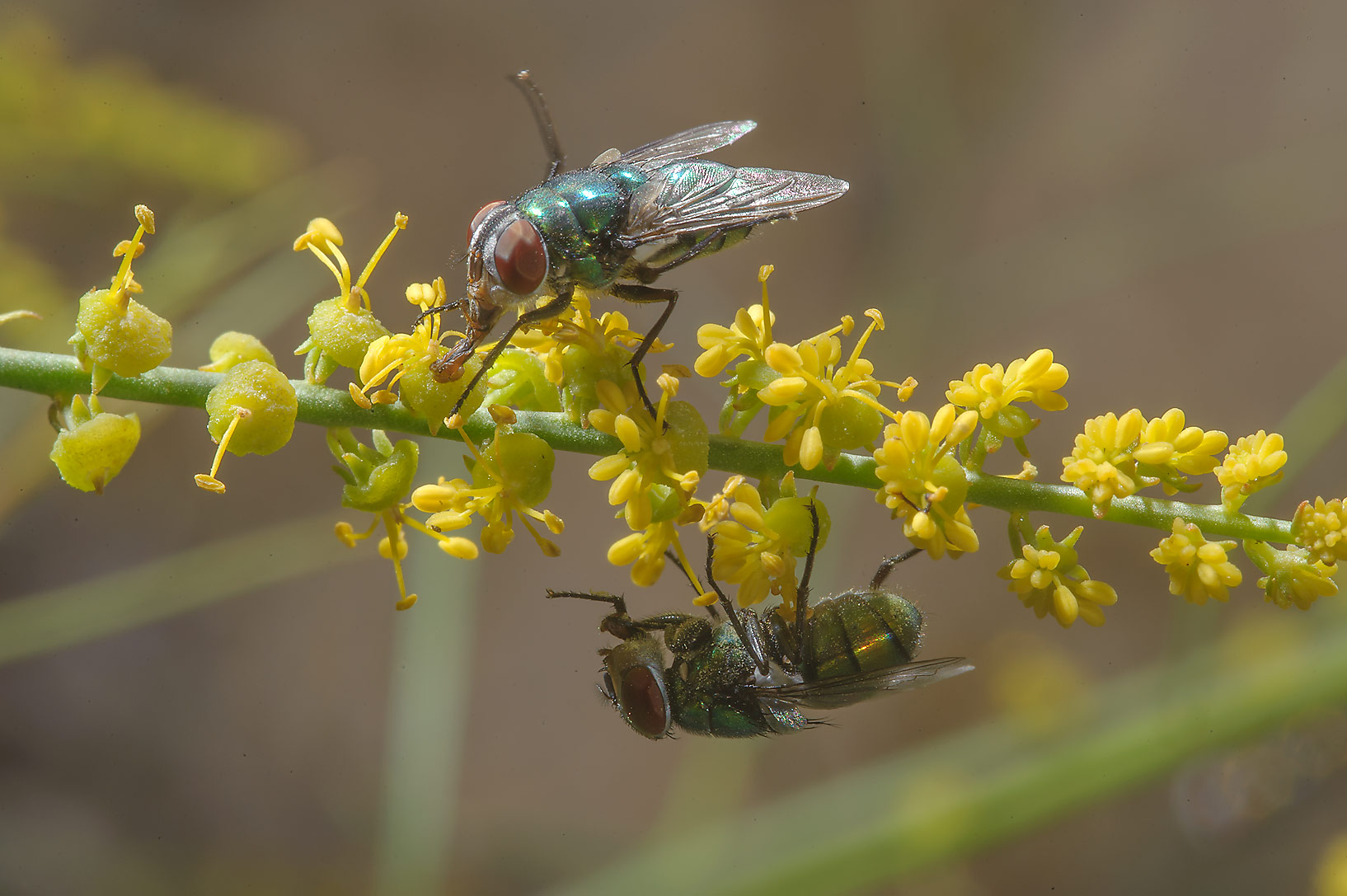 Flies sitting on yellow flowers of Ochradenus...north from Dukhan in western Qatar