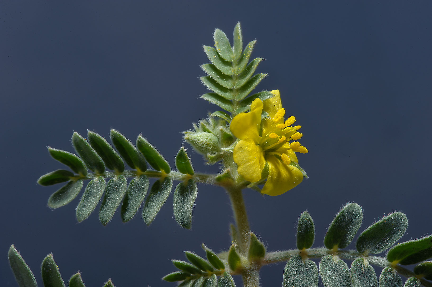 Tribulus pentandrus with a flower taken from Abu Nahlah Rd., south from Doha. Qatar