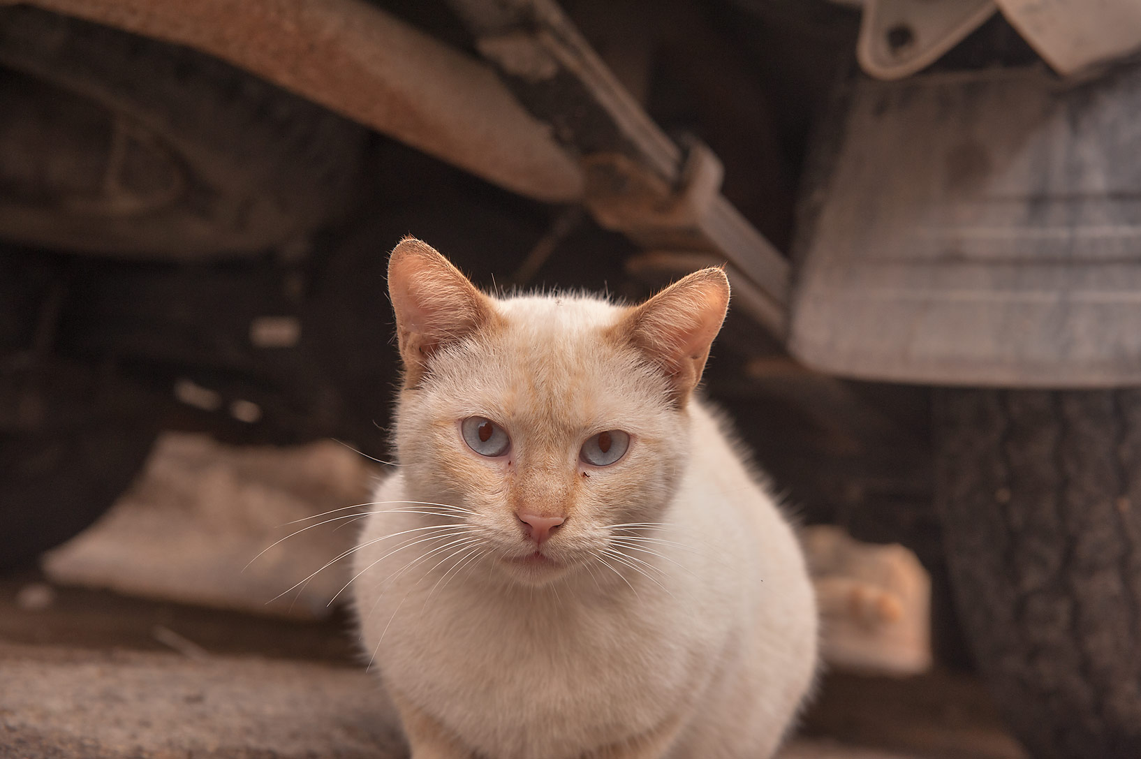 Pale cat under a car on Al Maymoun St. in Musheirib area. Doha, Qatar