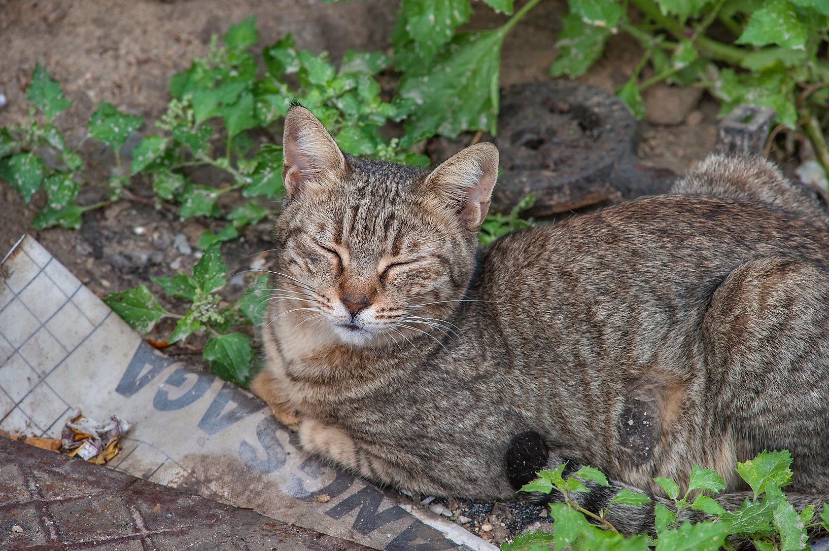 Sleeping tabby cat near Umm Wishad St. in Musheirib area. Doha, Qatar