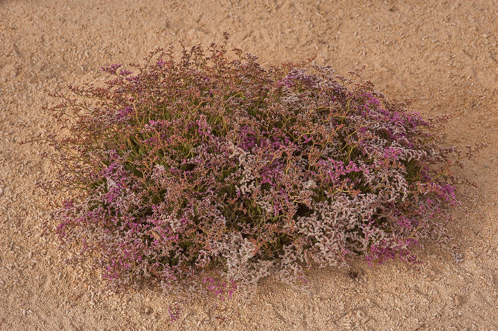 Large plant of Sea lavender (Qetaif, Limonium...in Madinat Al Shamal area. Qatar