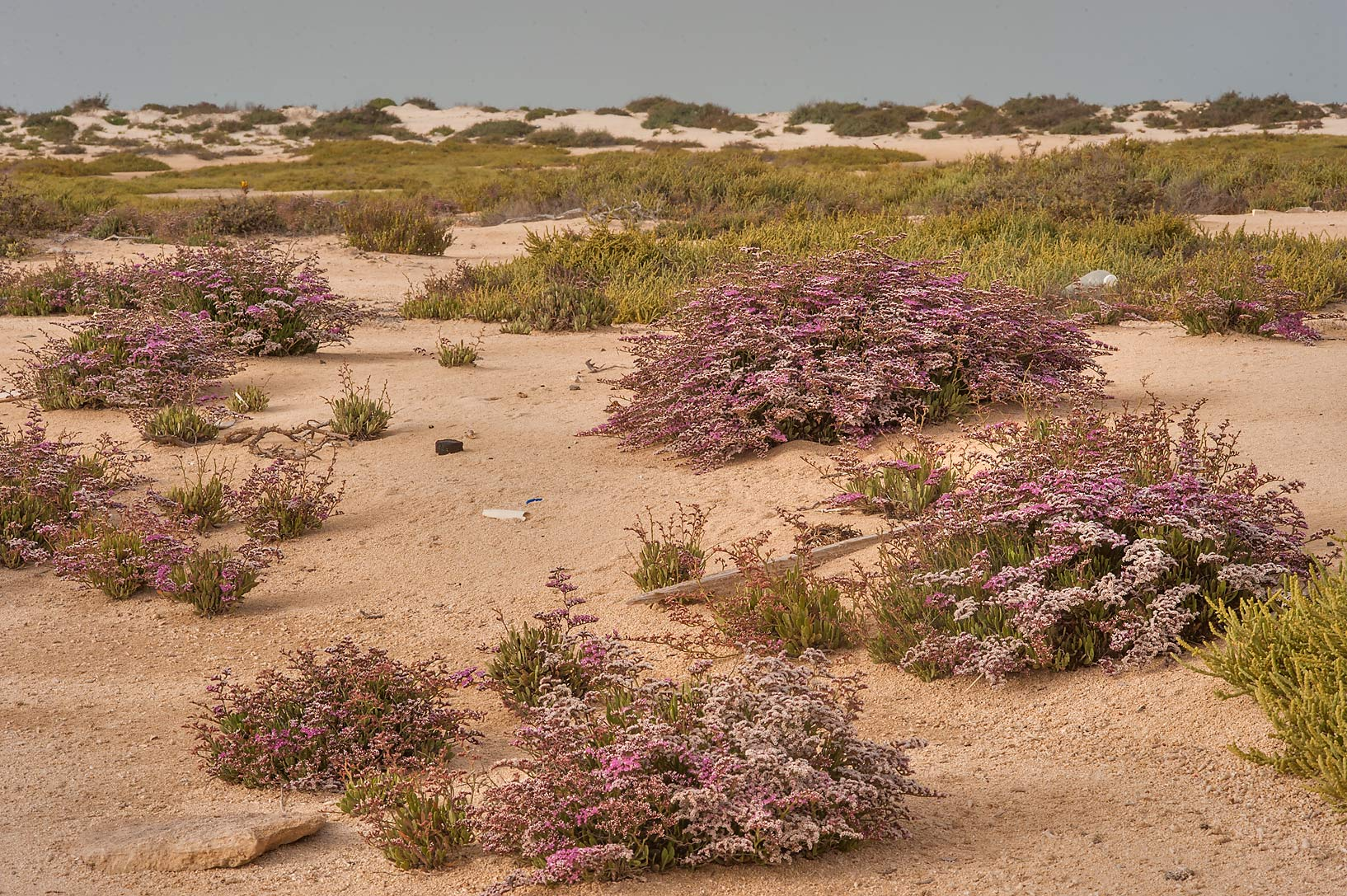 Bushes of Sea lavender (Qetaif, Limonium axillare...in Madinat Al Shamal area. Qatar