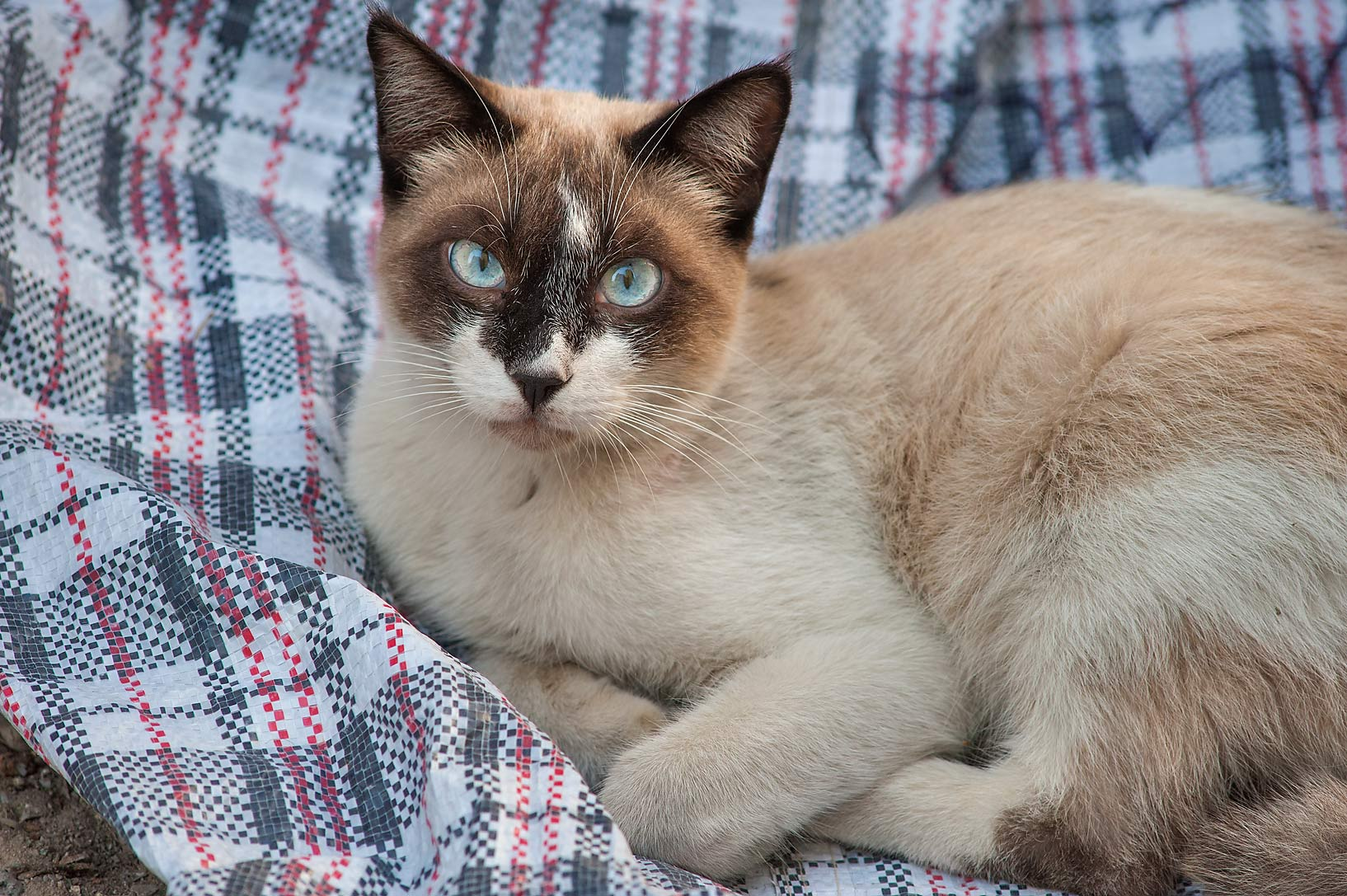 Resting Siamese cat with blue eyes on Zurara Bin...Al Doha Al Jadeeda area. Doha, Qatar
