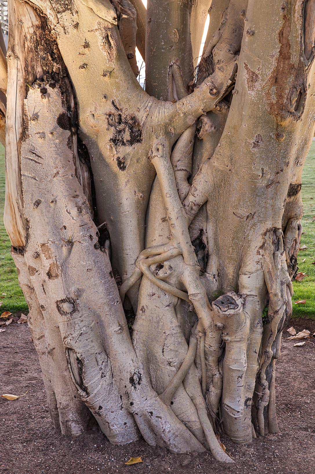 Trunk of Indian Banyan (Ficus benghalensis) in Aspire Park. Doha, Qatar