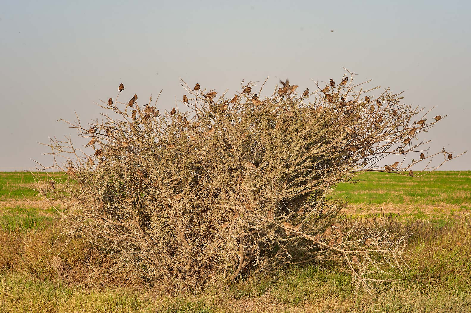 Large flock of sparrows sitting on a bush near...in Irkhaya Farms. South-western Qatar