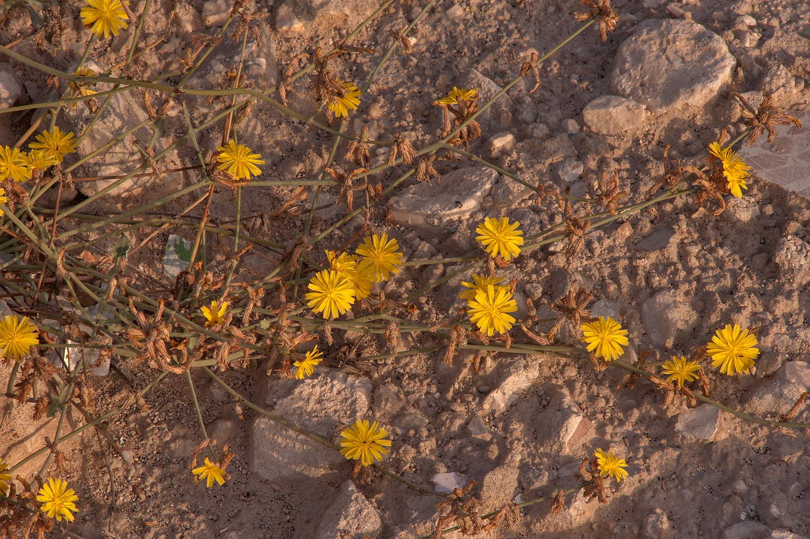 Yellow flowers of Launaea nudicaulis (local names...to Education City. Doha, Qatar