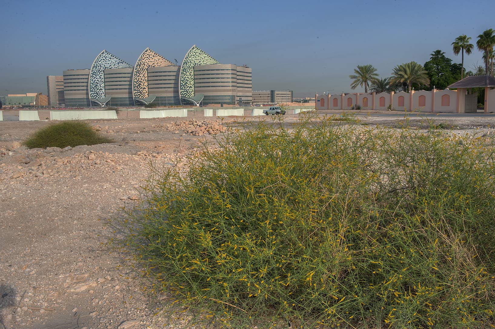 Bushes of Ochradenus baccatus (Pearl Plant, Taily...to Education City. Doha, Qatar