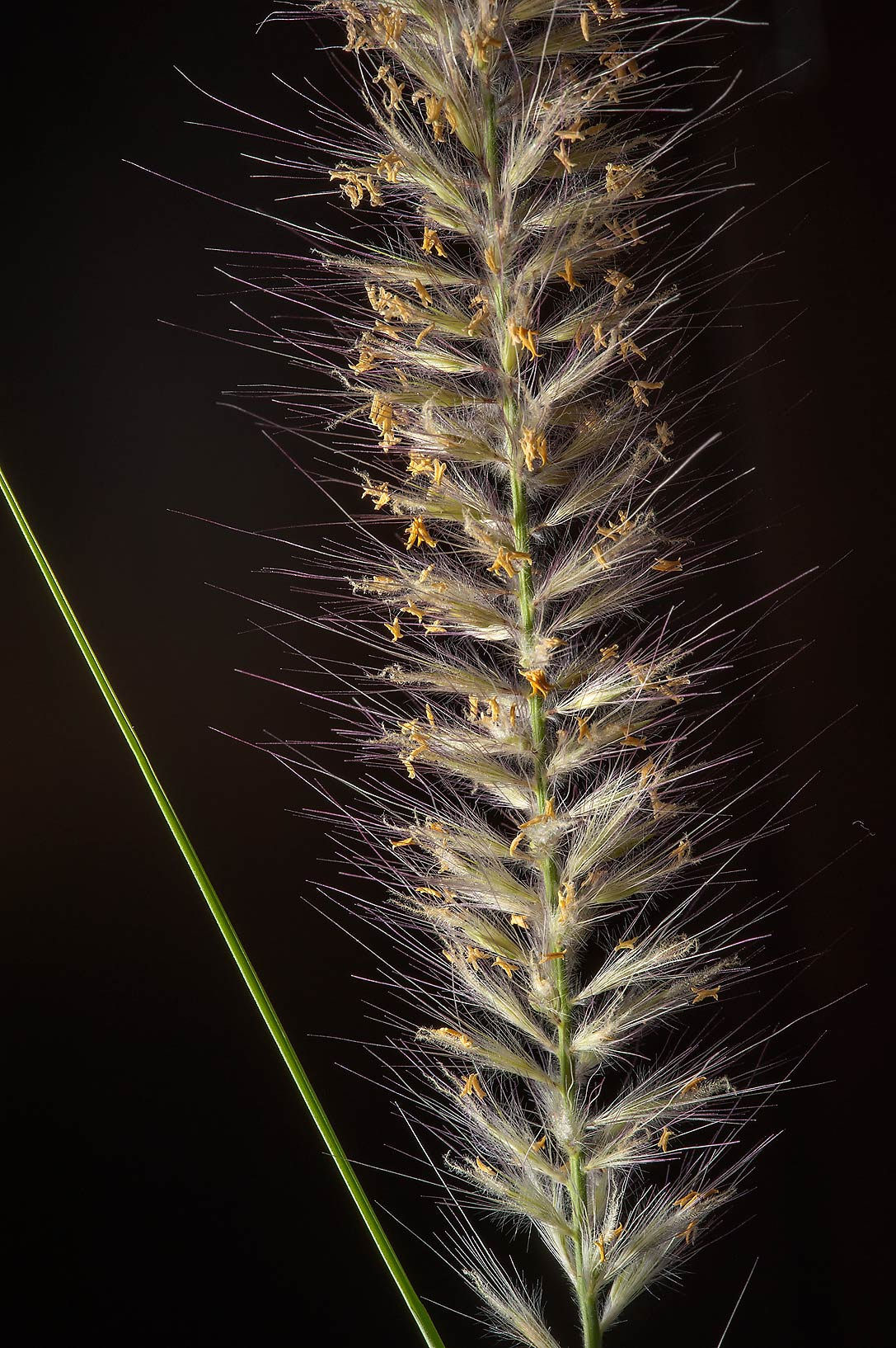 Soft spike of buffelgrass (African foxtail grass...St. in area of West Bay. Doha, Qatar