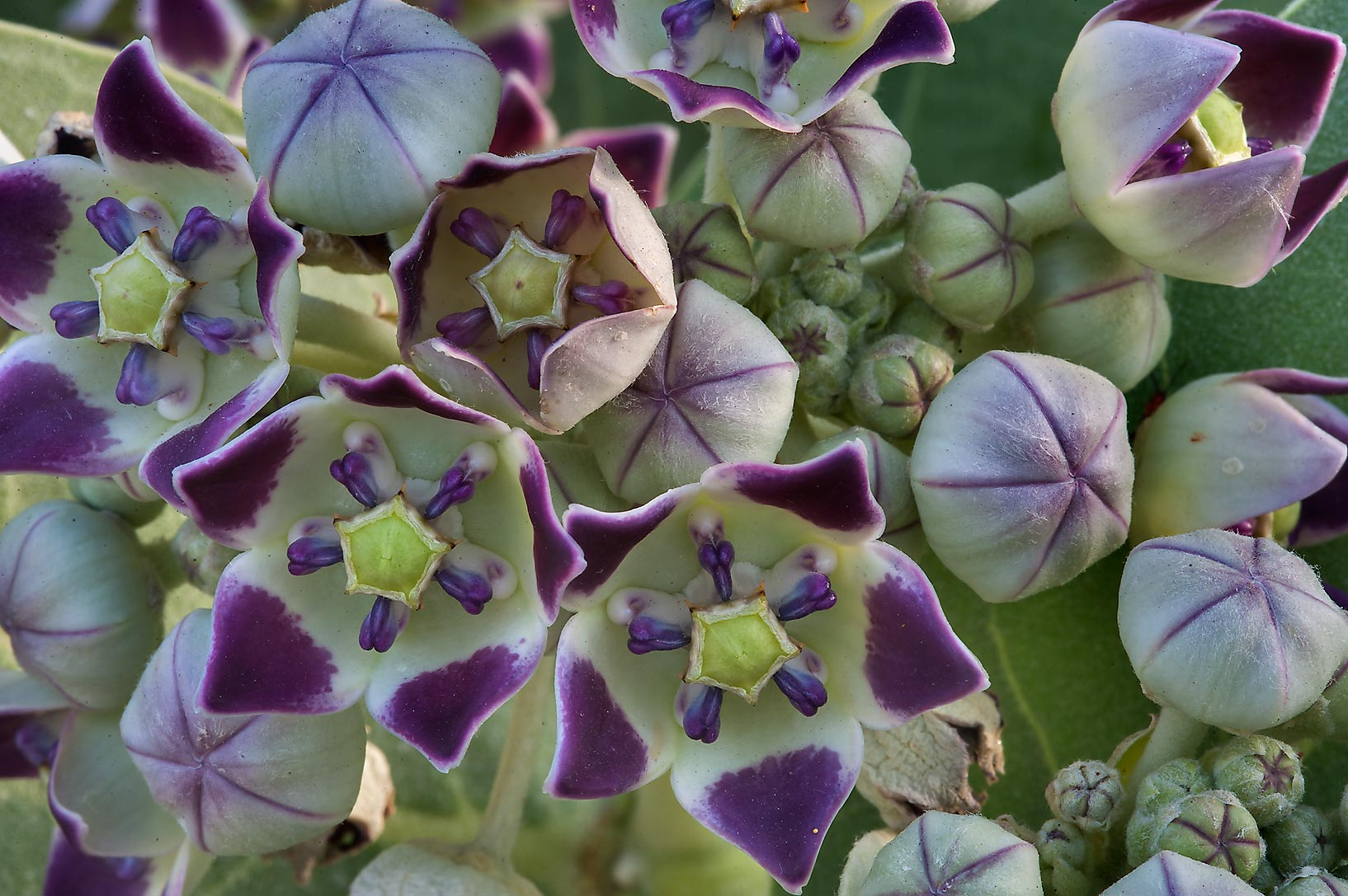 Flowers of Sodom Apple (Calotropis procera) on Al...St. in area of West Bay. Doha, Qatar