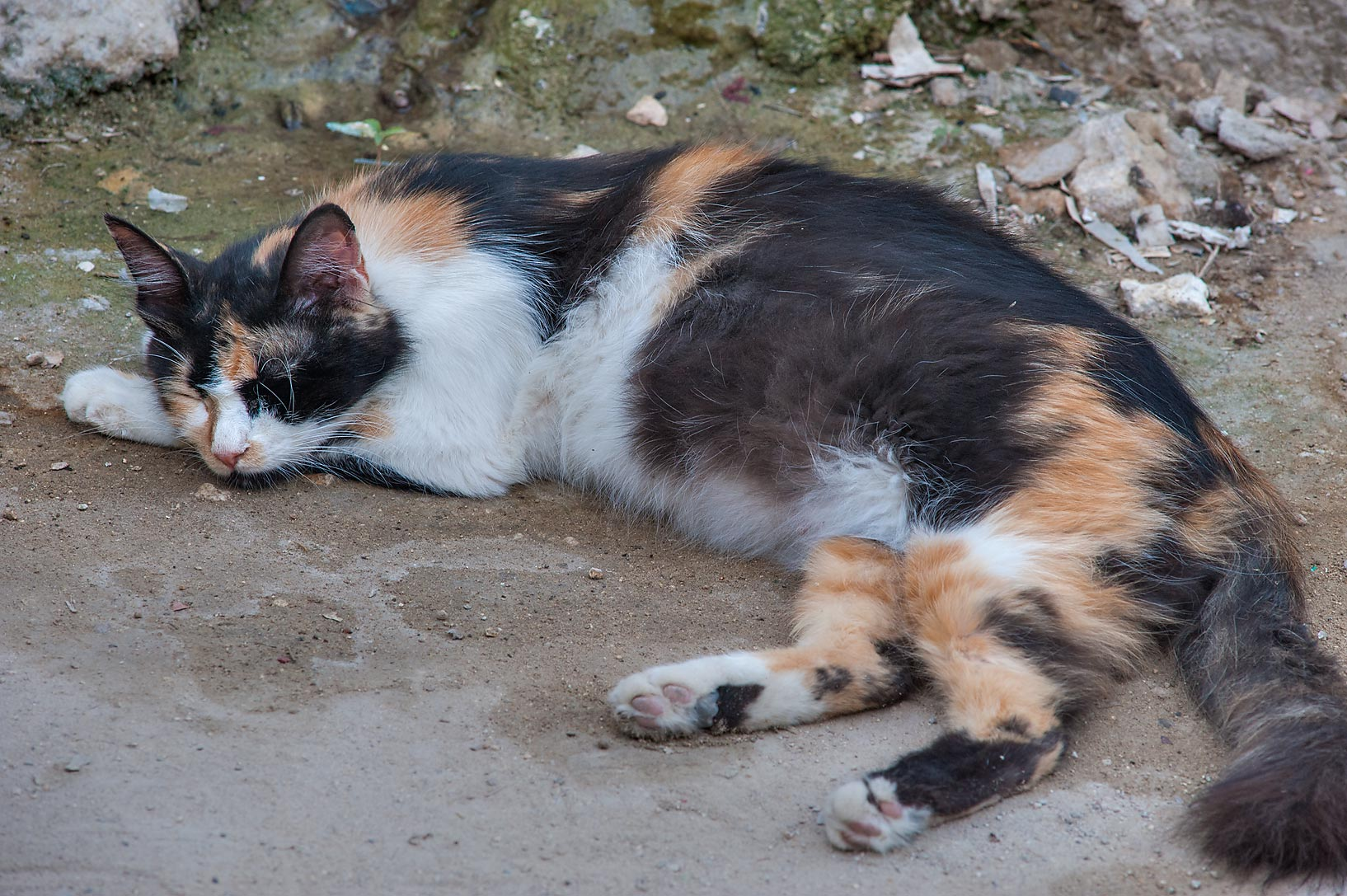 Relaxed calico cat near Abdullah Bin Thani St. in Musheirib area. Doha, Qatar