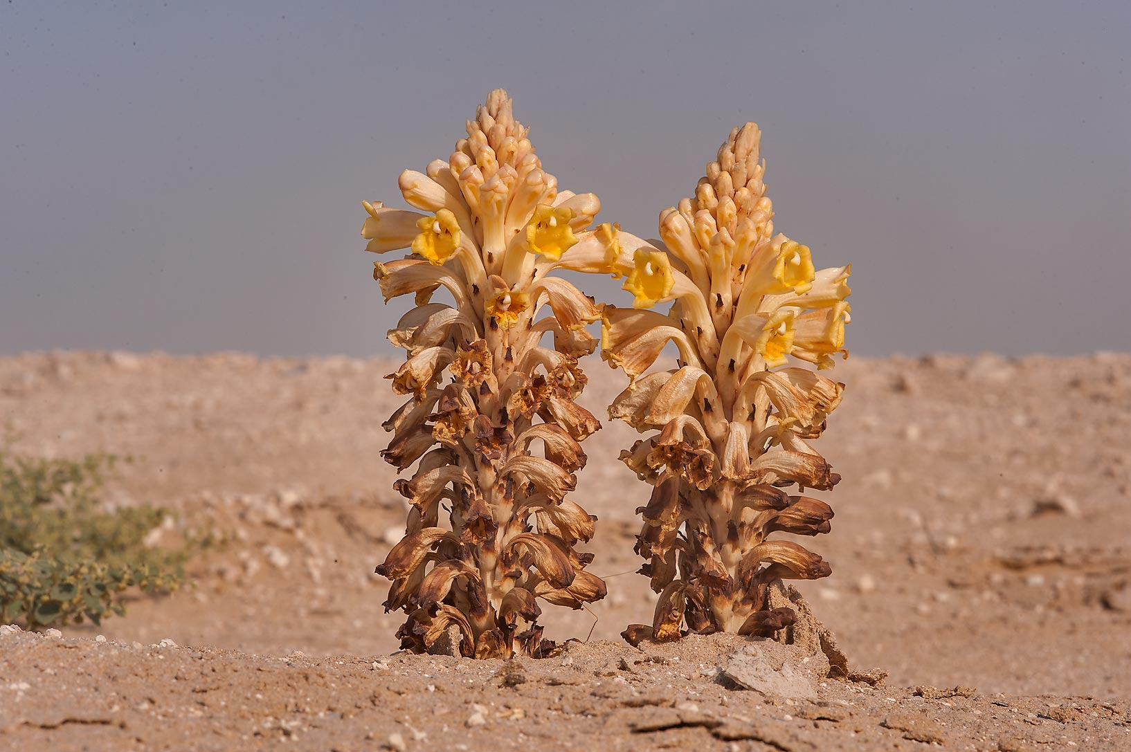 Parasitic plant Desert Hyacinth (Cistanche...on a roadside near Abu Nahlah. Qatar