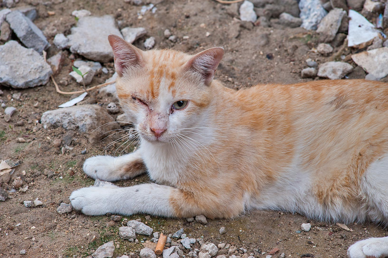 One eyed cat resting near Abdullah Bin Thani St. in Musheirib area. Doha, Qatar