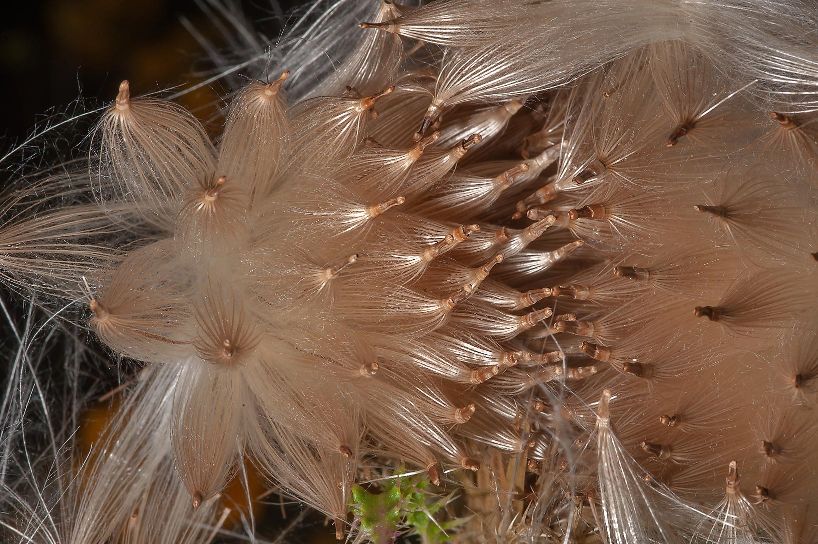 Fluffy seeds of thistle (Cirsium) in Lick Creek Park. College Station, Texas