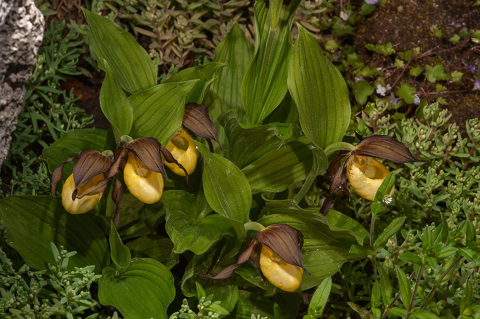 Yellow Lady's-Slipper orchids (Cypripedium...Institute. St.Petersburg, Russia