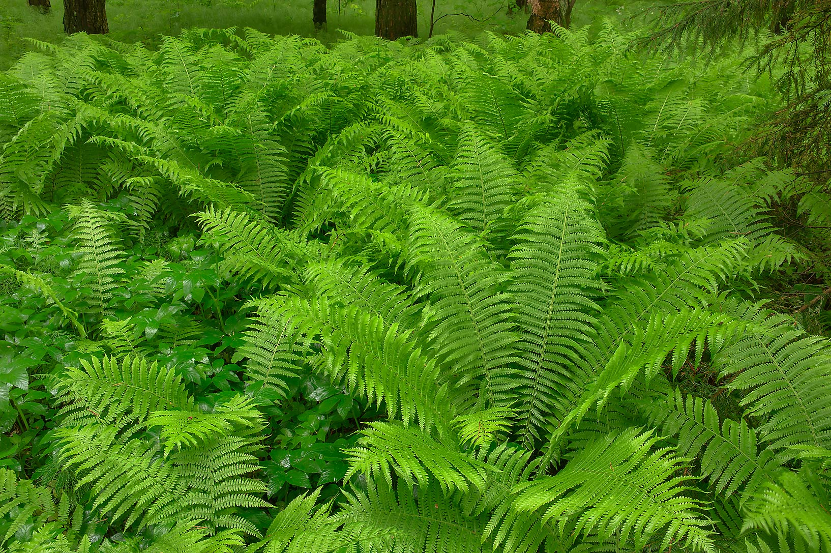 Ferns on 9-th Parade Alley in Pavlovsk Park. Pavlovsk, suburb of St.Petersburg, Russia