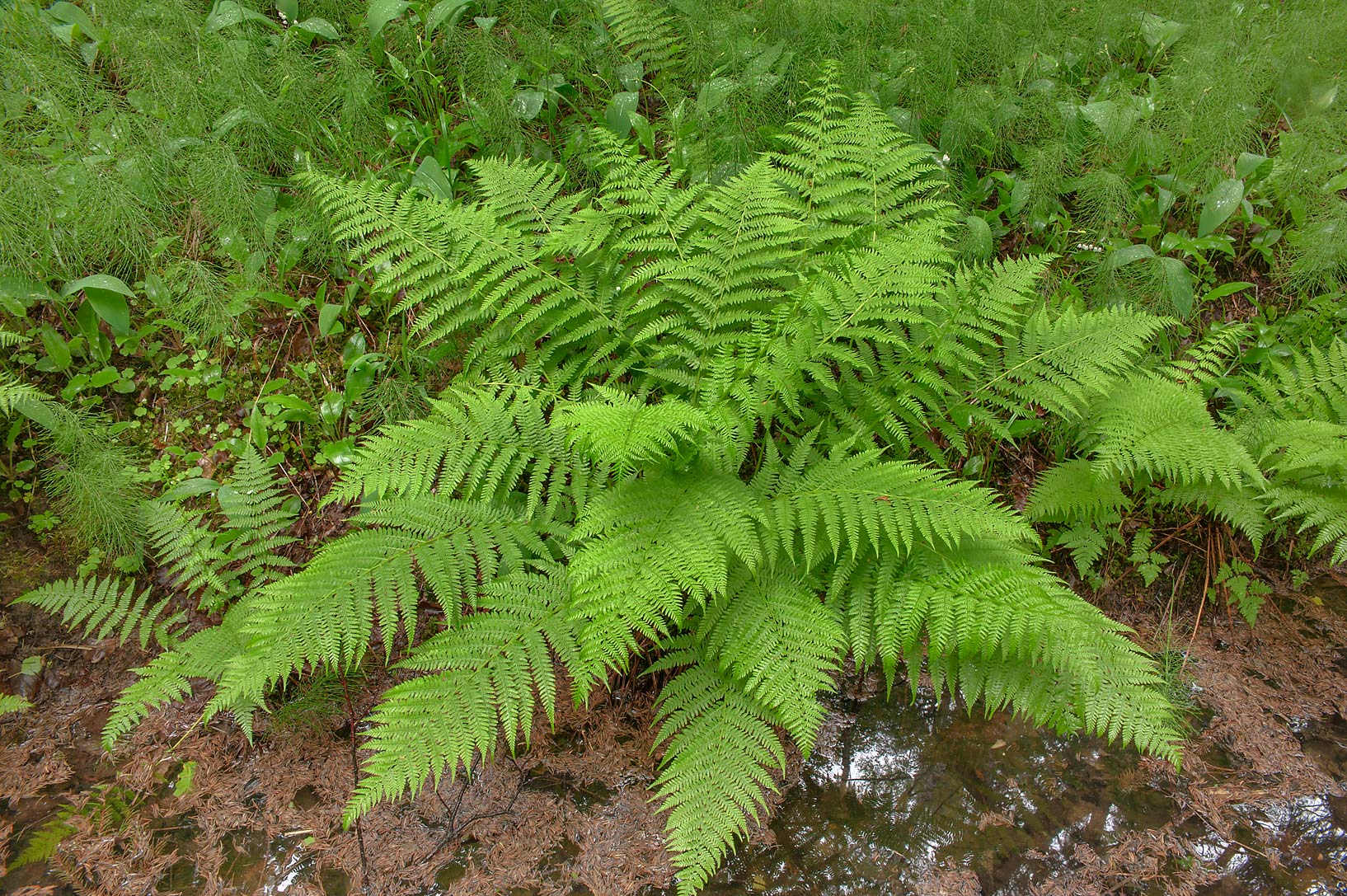 Fern in a ditch near Angliyskaya Alley in...suburb of St.Petersburg, Russia