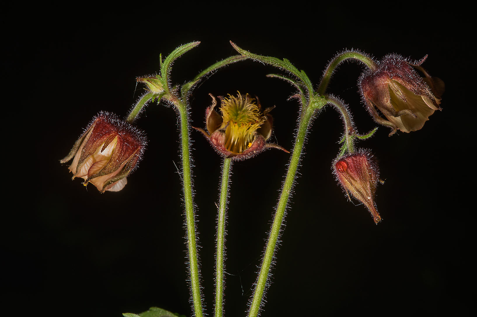 Flower heads of wood avens (Colewort, Geum...north-west from St.Petersburg, Russia