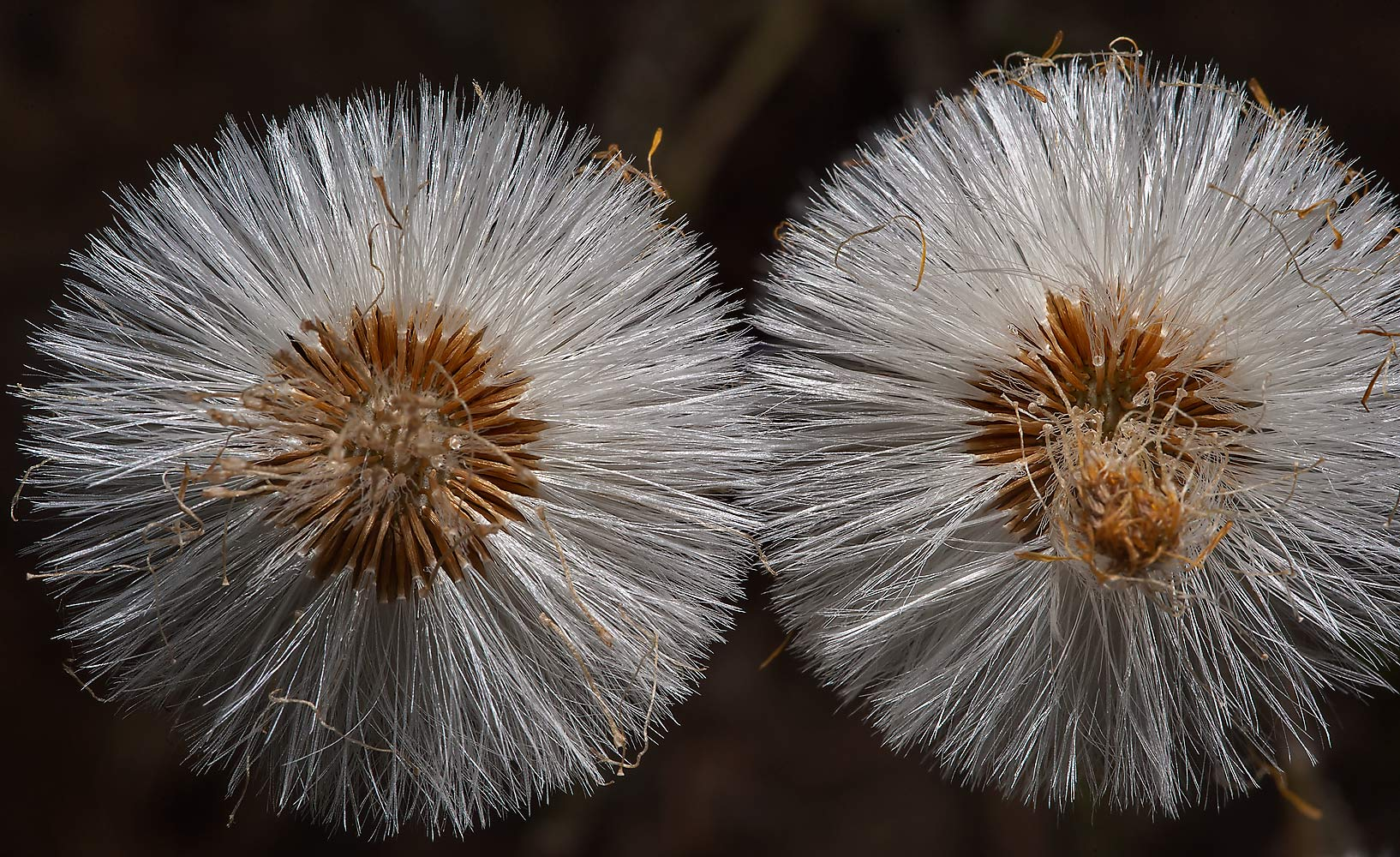 Fluffy seed heads of Coltsfoot (Tussilago farfara...north-west from St.Petersburg, Russia