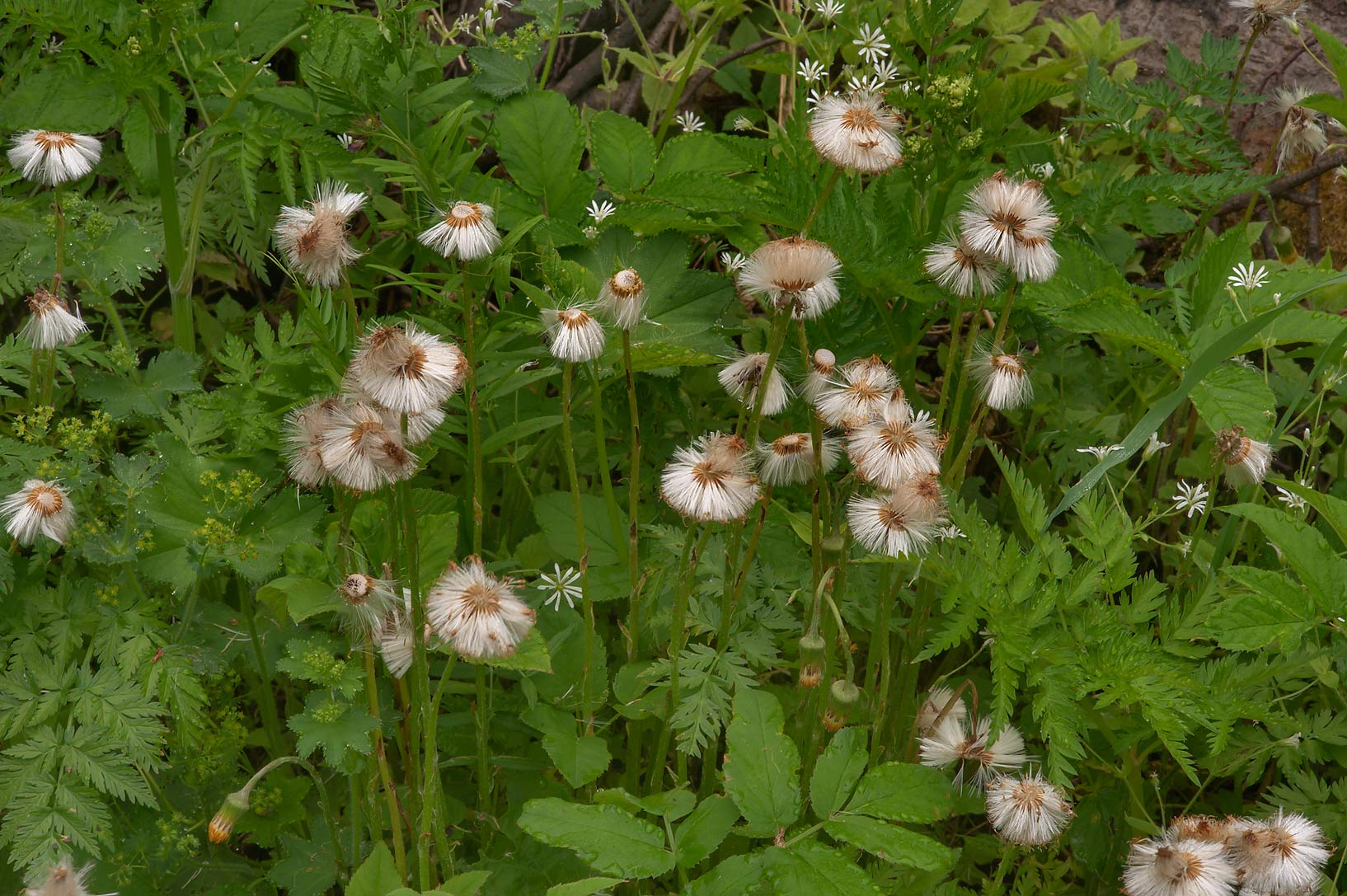 Coltsfoot (Tussilago farfara) near Razliv on a...north-west from St.Petersburg, Russia