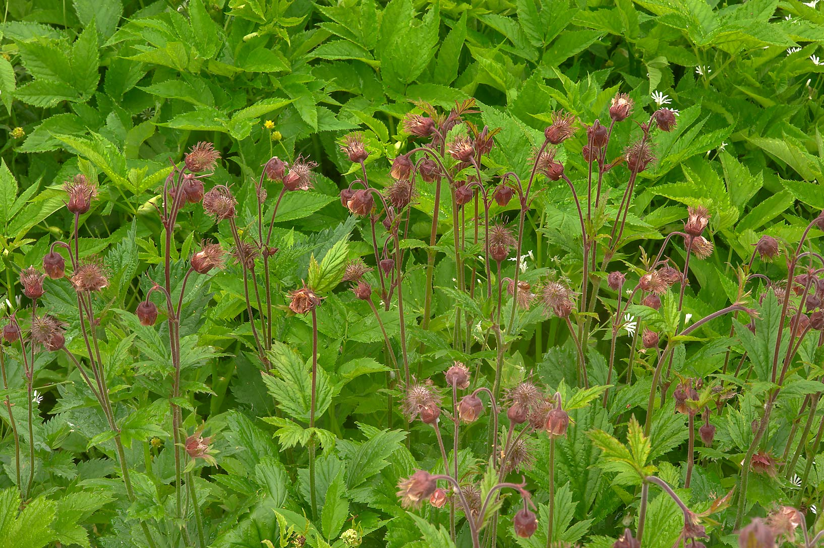 Water Avens (Geum rivale) near Razliv on a road...north-west from St.Petersburg, Russia