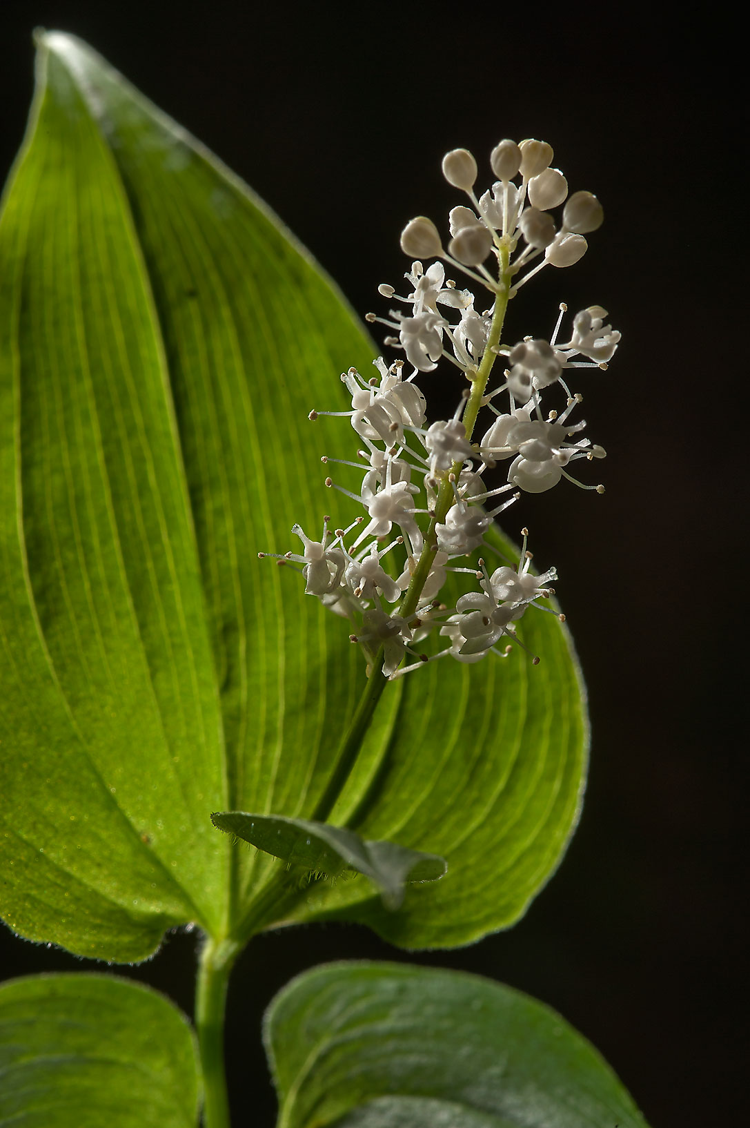 False Lily-of-the-valley (Maianthemum bifolium...south from St.Petersburg. Russia