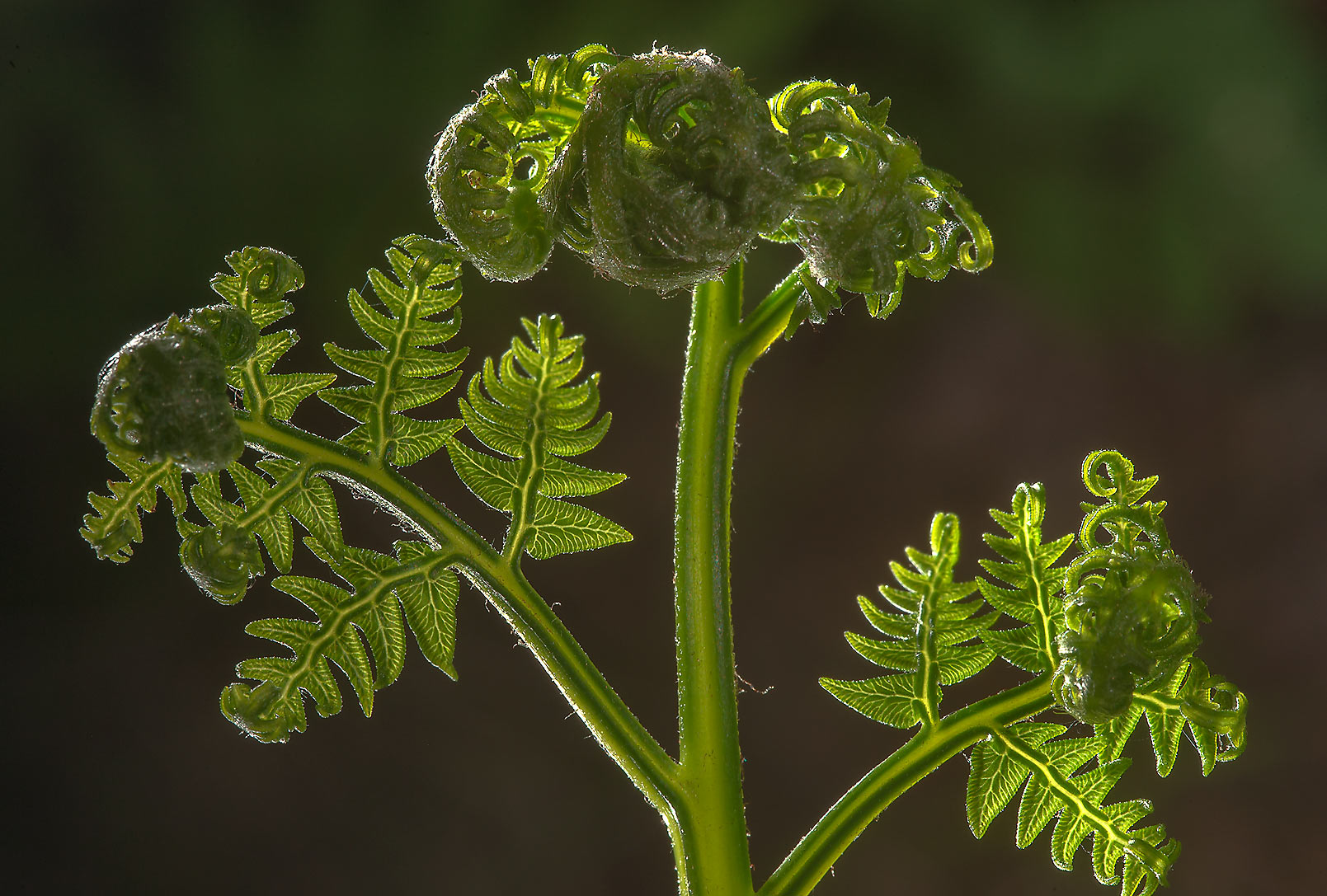 Young leaf of bracken fern (Pteridium aquilinum...south from St.Petersburg. Russia