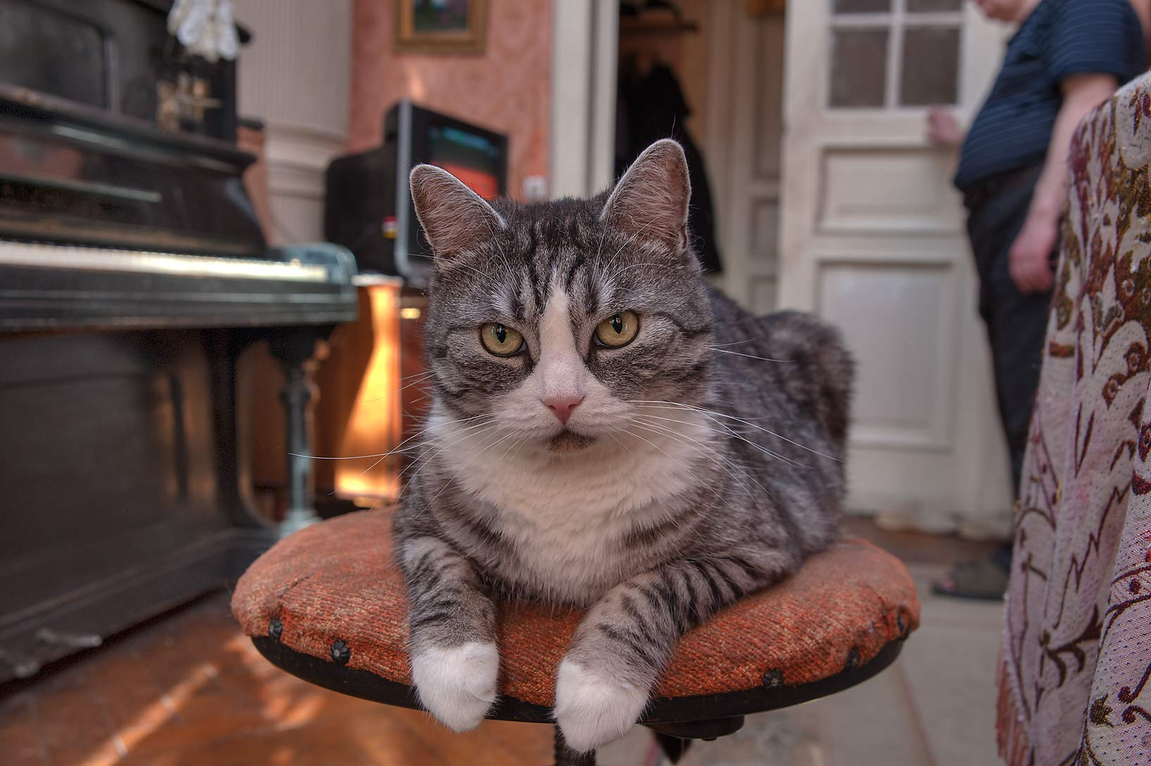 Sitting cat (6 years/6 kg). St.Petersburg, Russia