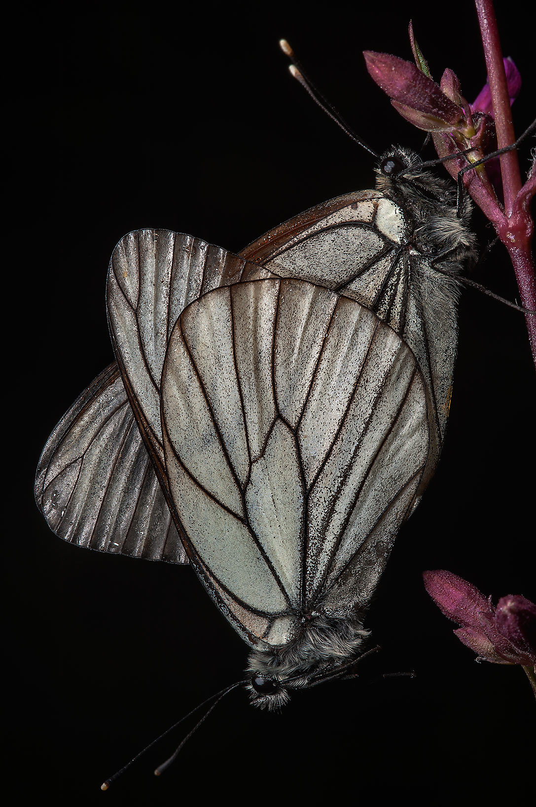 Mating black-veined white butterflies (Aporia...north from St.Petersburg. Russia