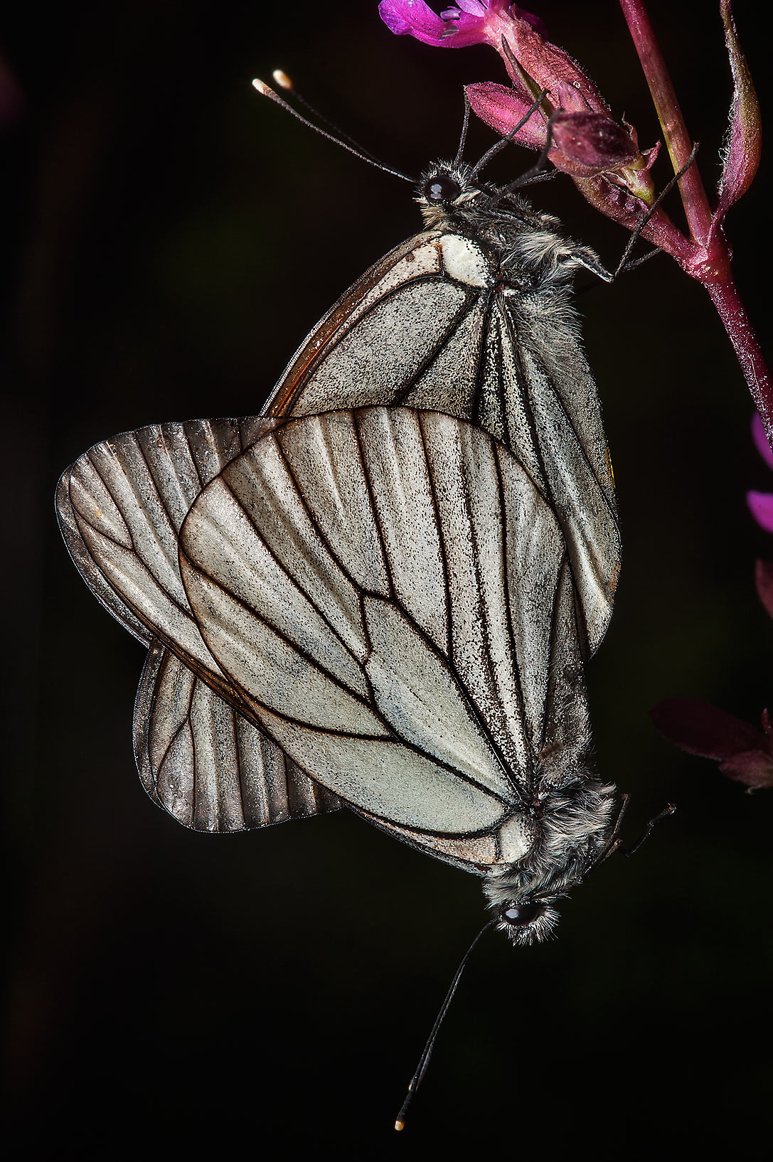 Black-veined white butterflies (Aporia crataegi...north from St.Petersburg. Russia