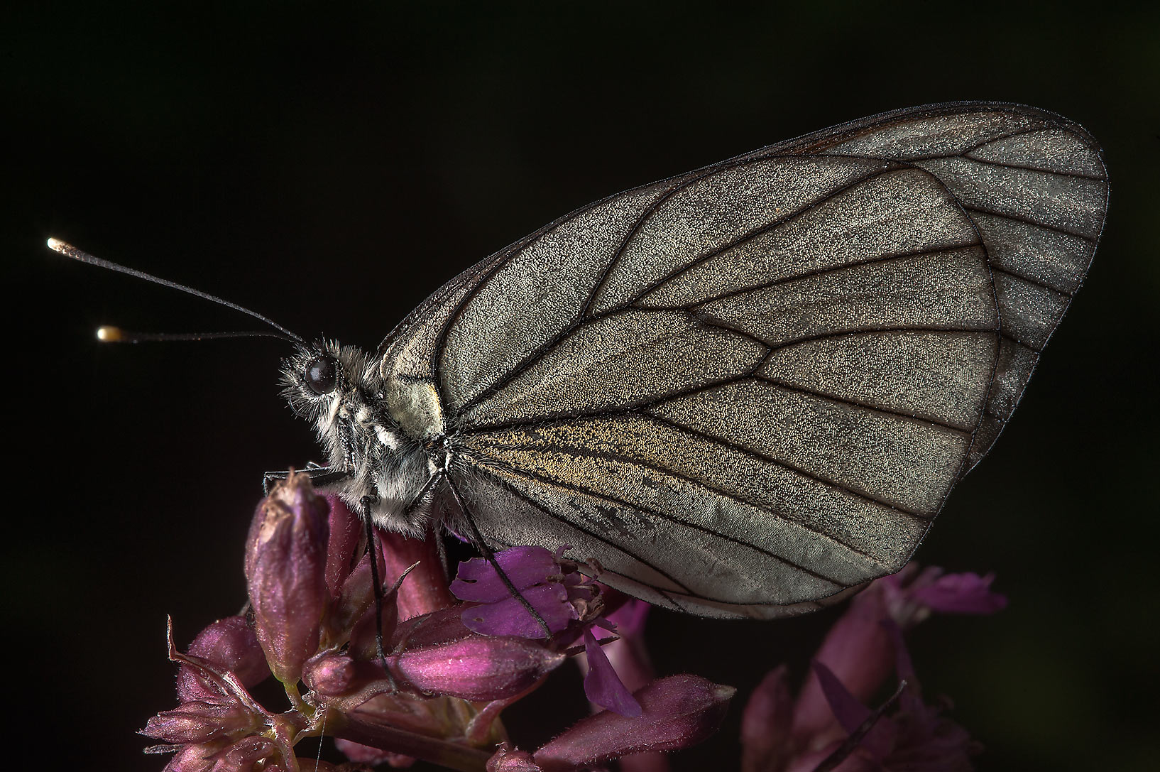 Black-veined white butterfly (Aporia crataegi...north from St.Petersburg. Russia