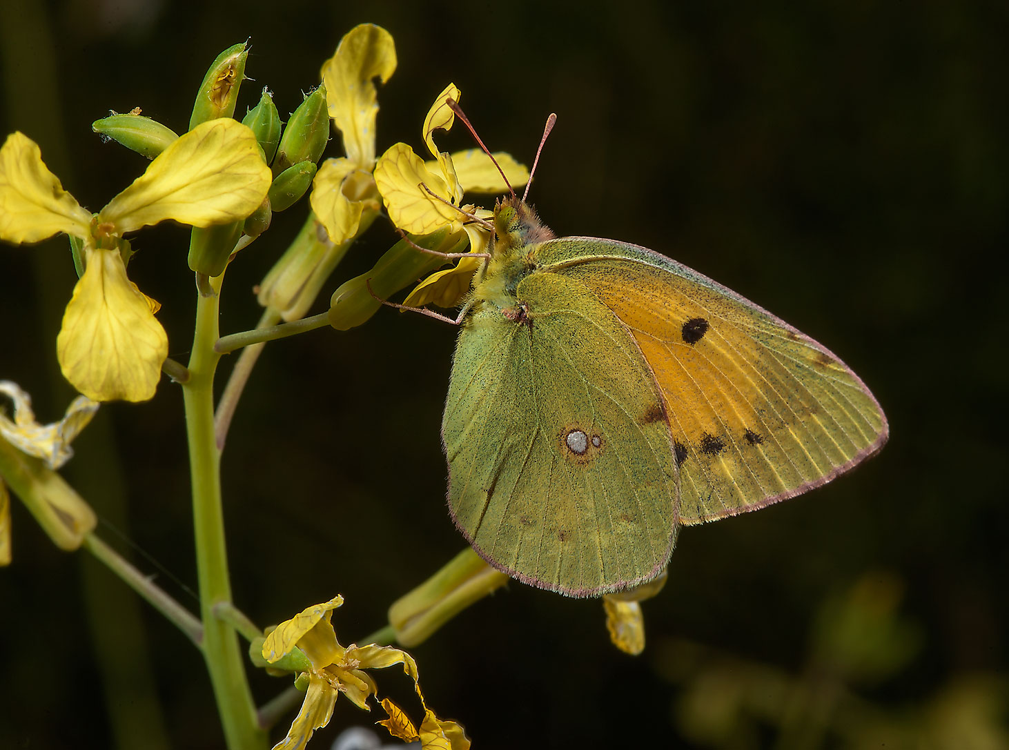 Clouded Yellow butterfly (Colias croceus) sitting...Irkaya) Farms. South-western Qatar