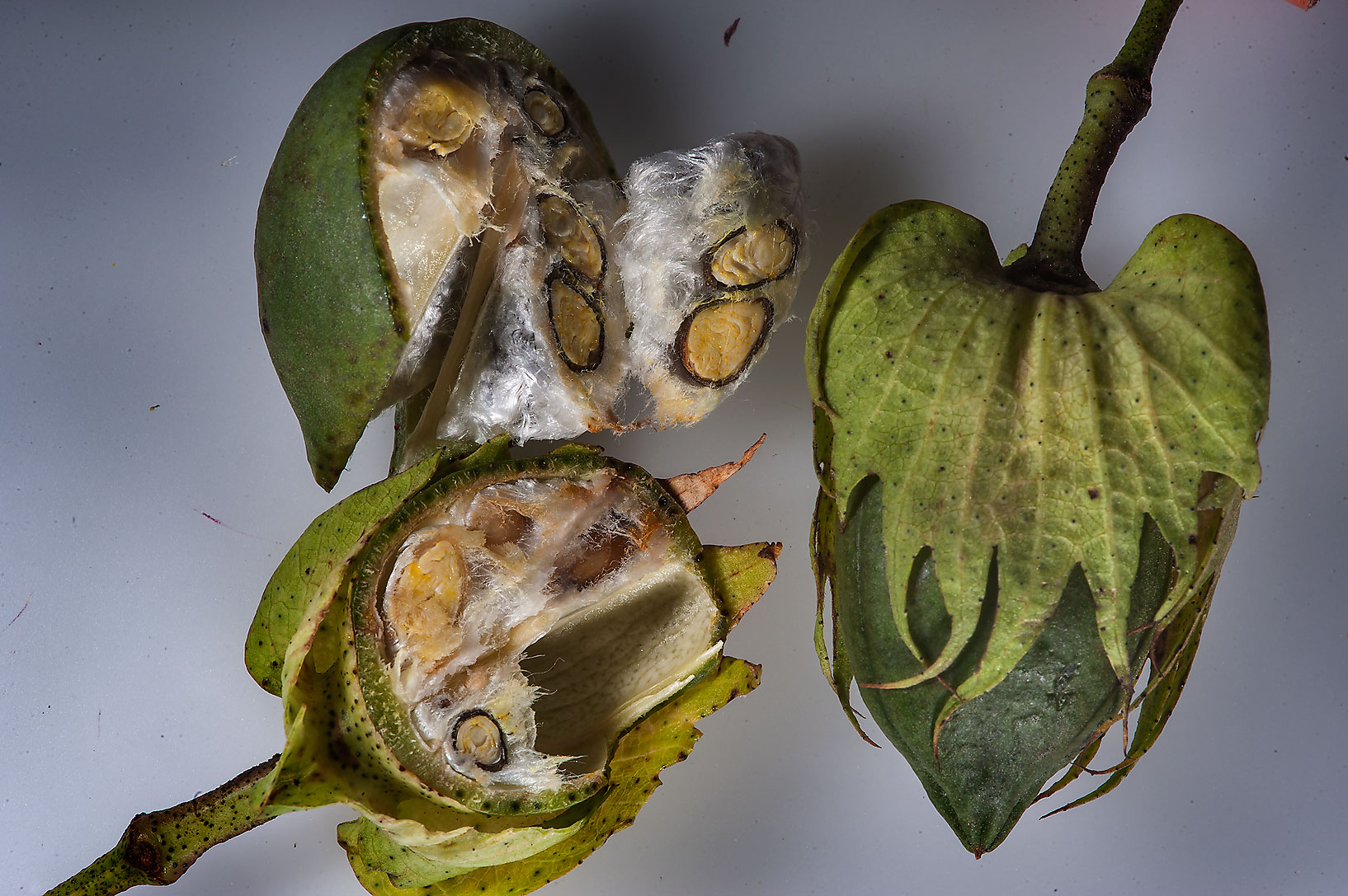 Dissected fruits of wild cotton (Gossypium...St. near West Bay. Doha, Qatar