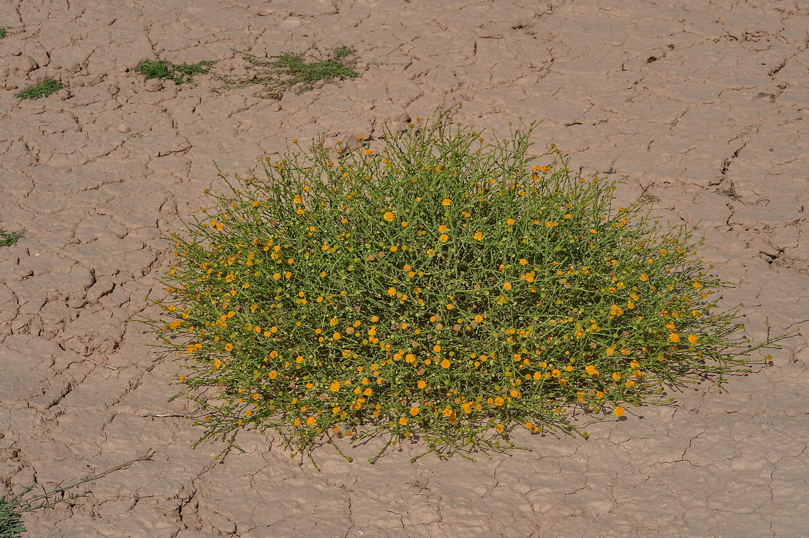 Plant of Pulicaria undulata (local names jithjath...Al Numan) near Zubara. Northern Qatar