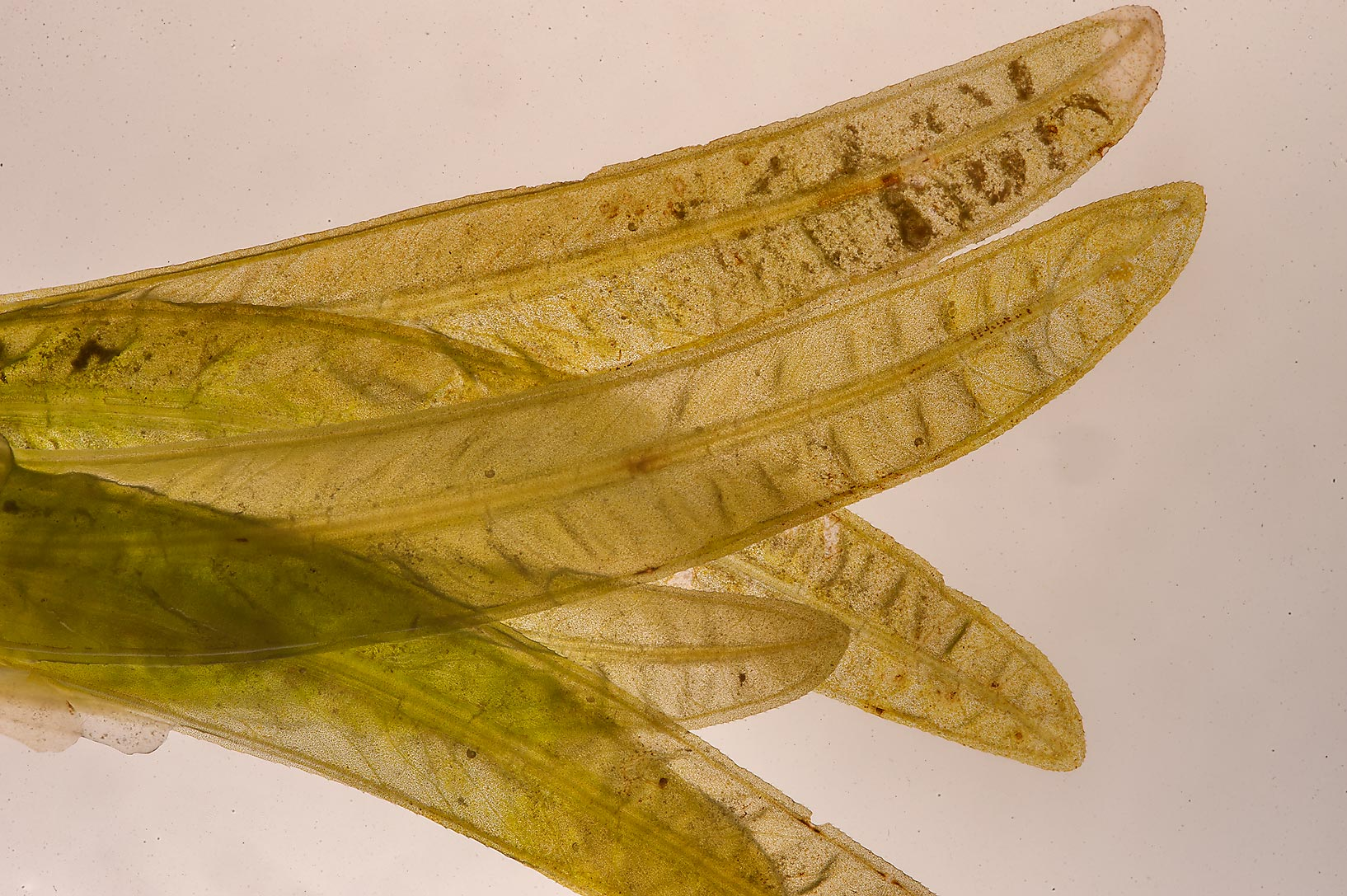 Back lit leaves of seagrass (Halophila stipulacea...Jazirat Bin Ghanim). Al Khor, Qatar