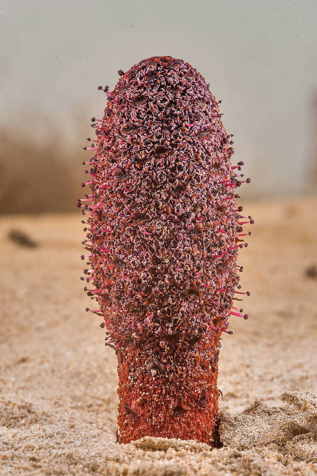 Dark-red inflorescence of Desert Thumb...Well near Umm Bab. South-western Qatar