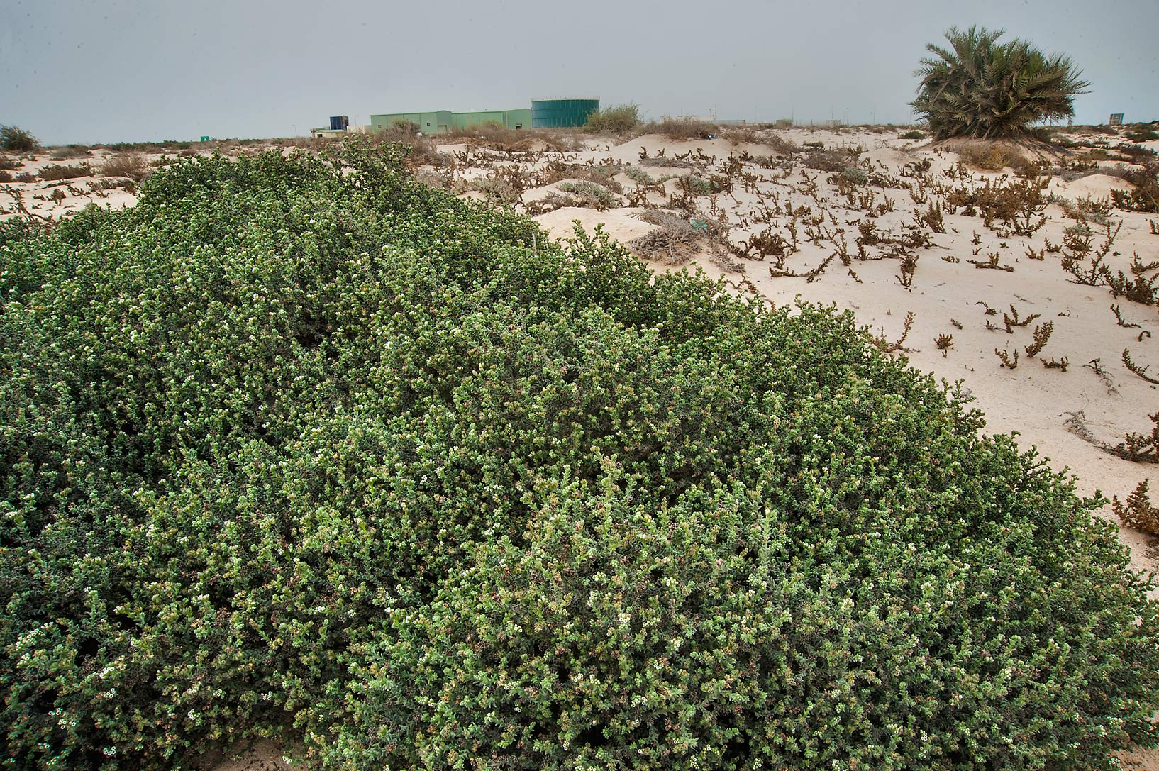 Large plant of desert heliotrope (turnsole...Well near Umm Bab. South-western Qatar