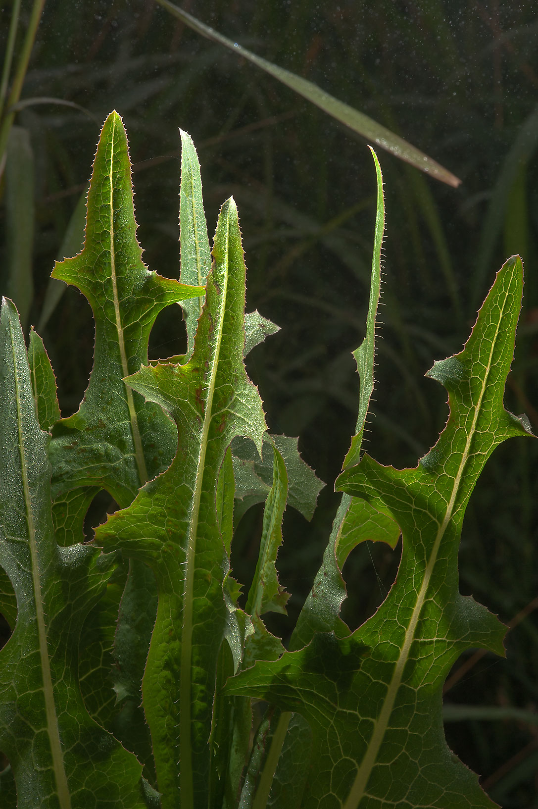 Leaves of smooth sow thistle (Sonchus oleraceus...irrigation) in Irkhaya Farms. Qatar