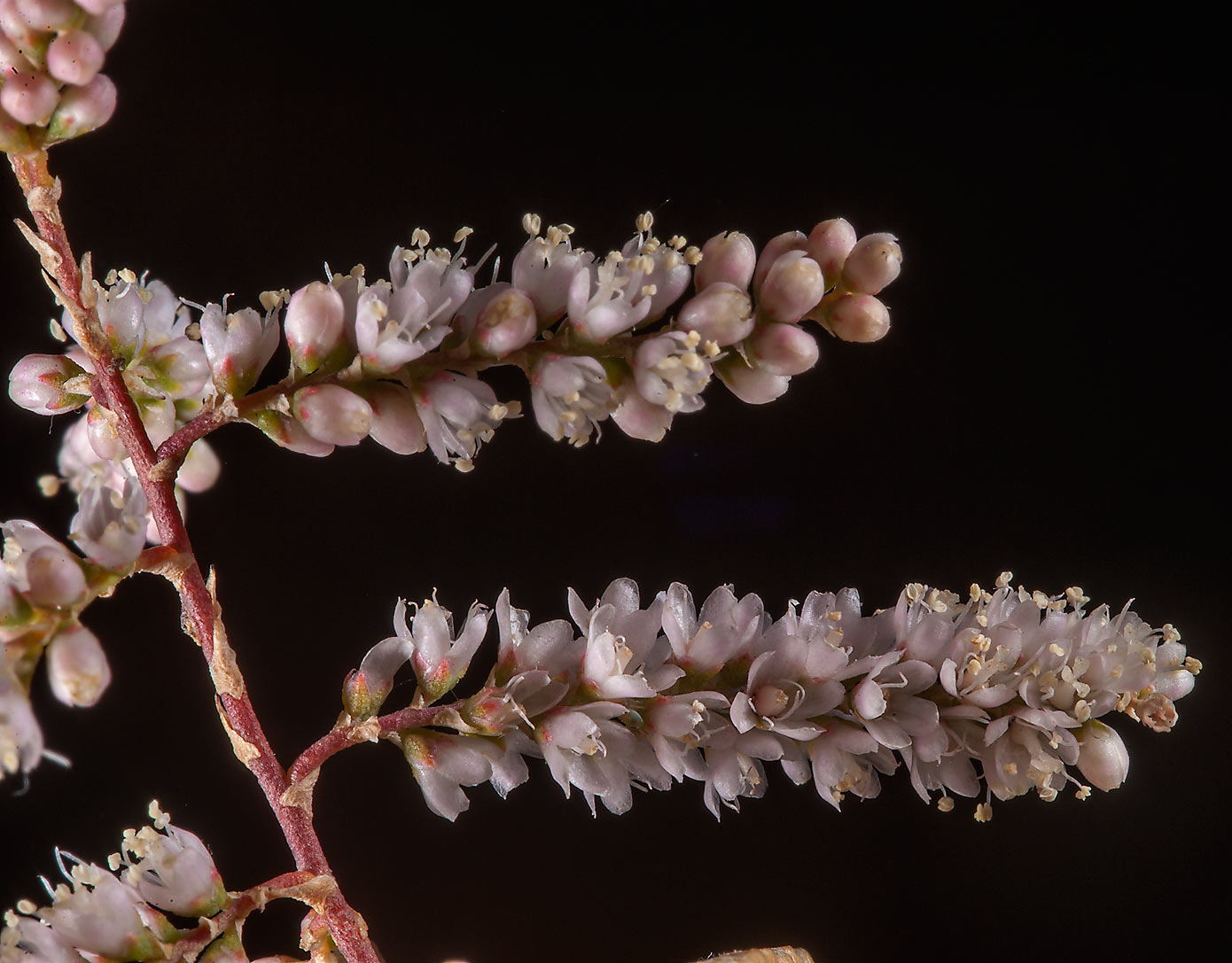 Close up of tamarisk flowers (Tamarix aphylla...north from Al Khor Hospital. Qatar