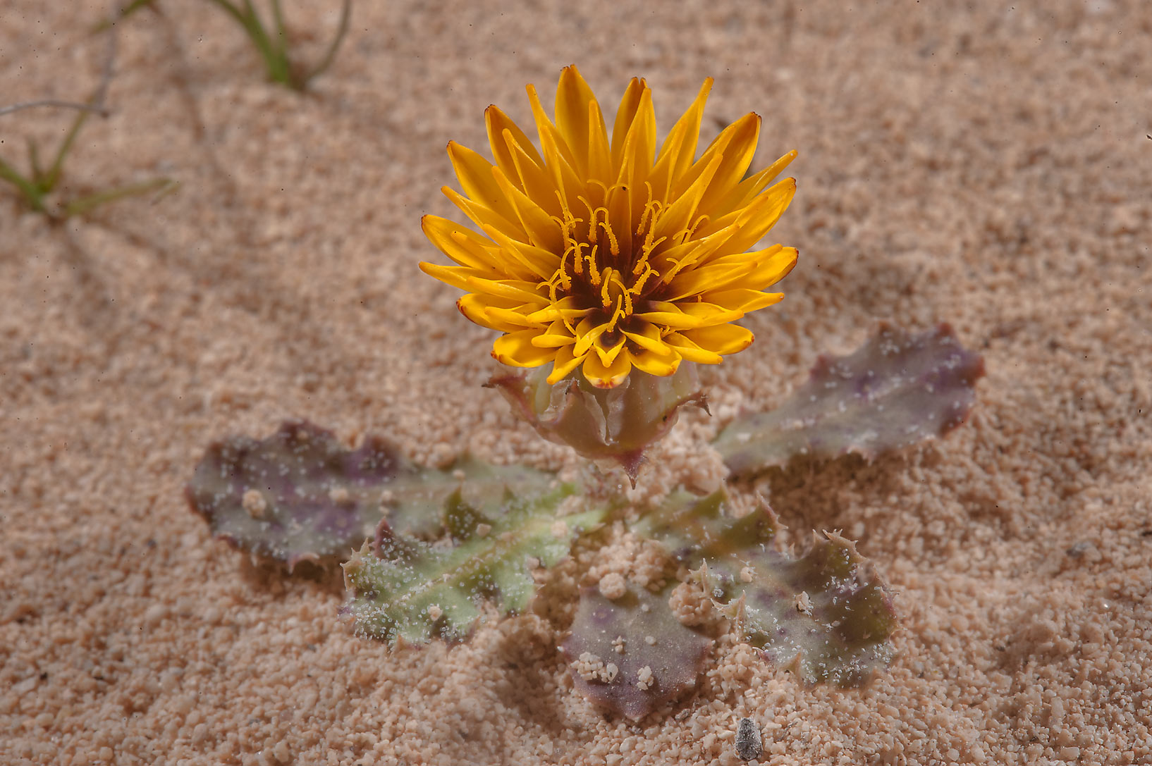 Orange flower of false sowthistle (Reichardia...of Jebel Fuwairit. Northern Qatar