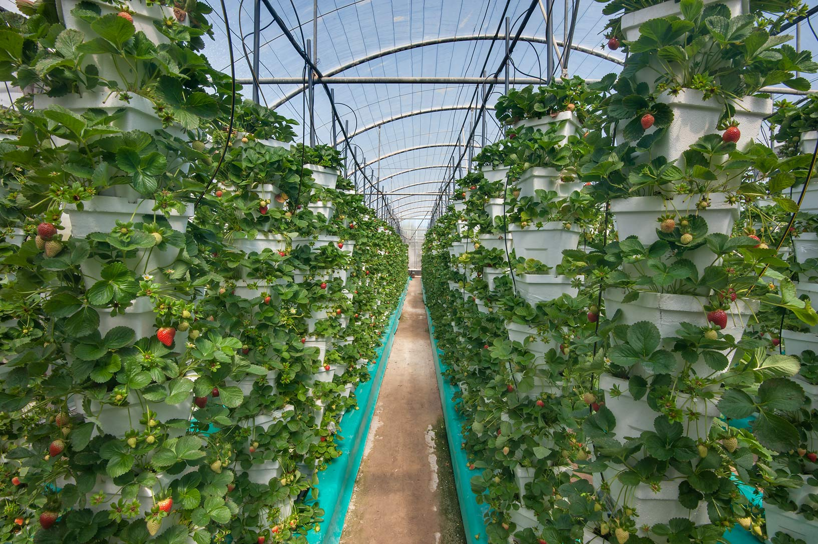 Strawberry growing on hydroponics in a greenhouse in Sulaiteen Farm. Doha, Qatar