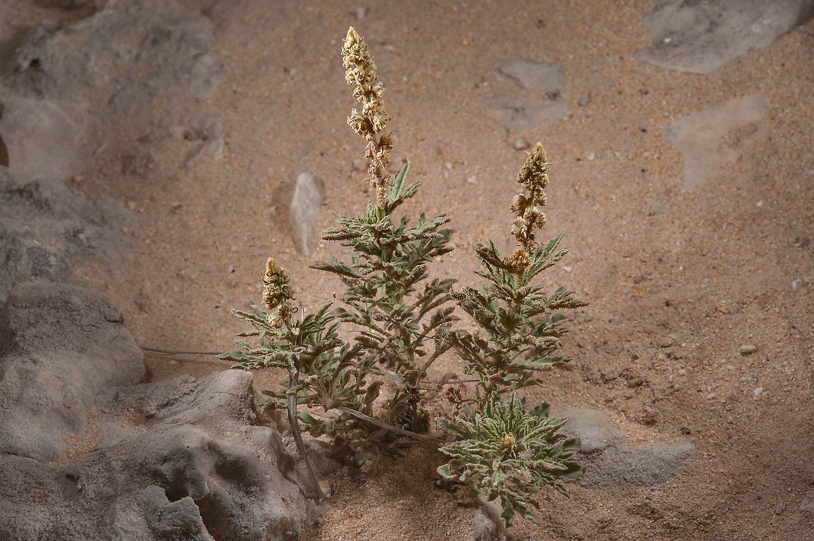 Reseda muricata (local name showla) in a runnel north from Dukhan. Qatar