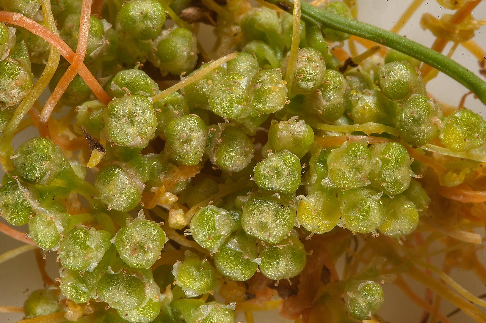 Close up of fruits of dodder Cuscuta pedicellata...in Irkhaya (Irkaya) Farms. Qatar