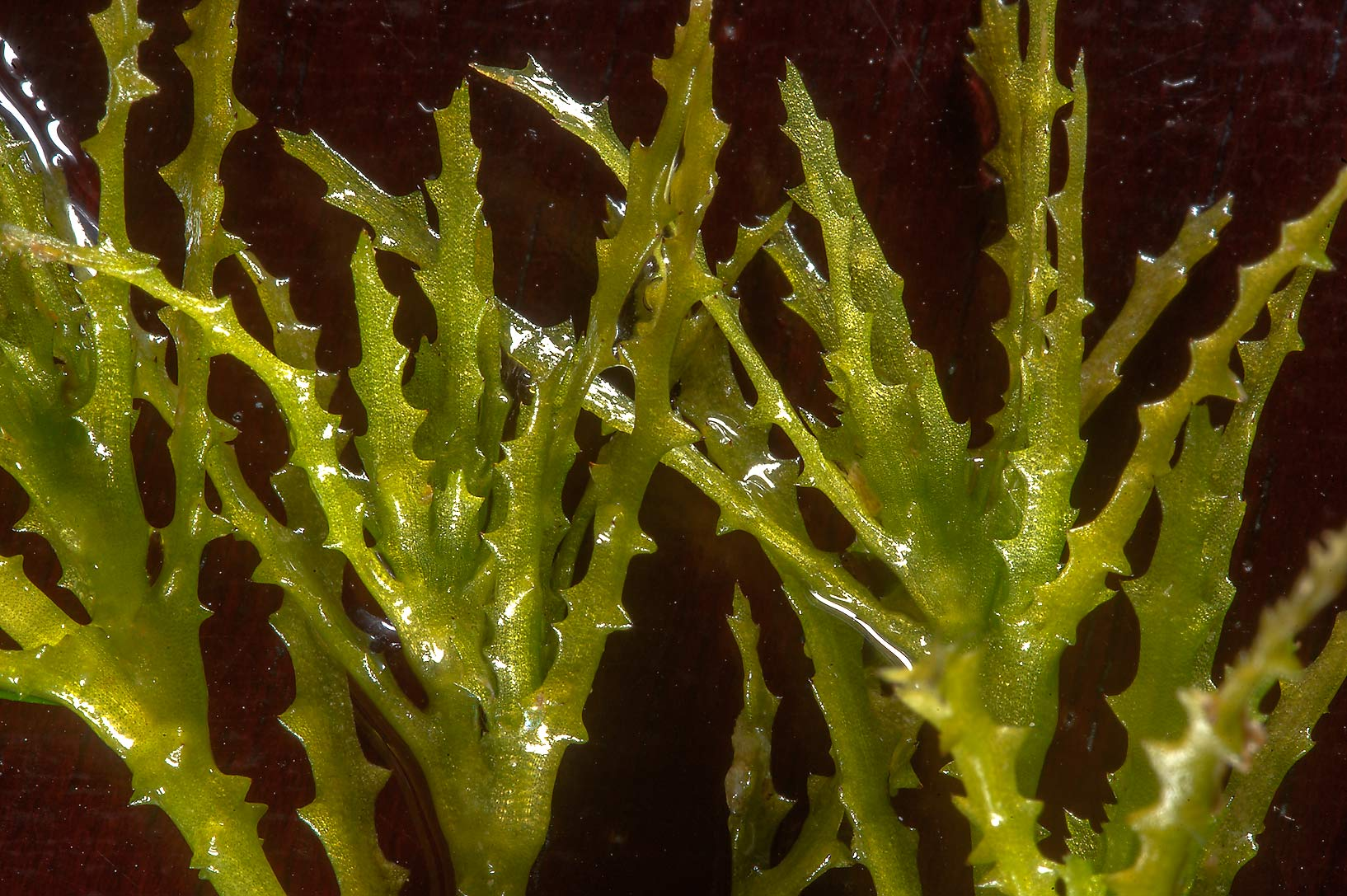 Toothed leaves of brittle naiad aquatic plant...treatment ponds. Doha, Qatar