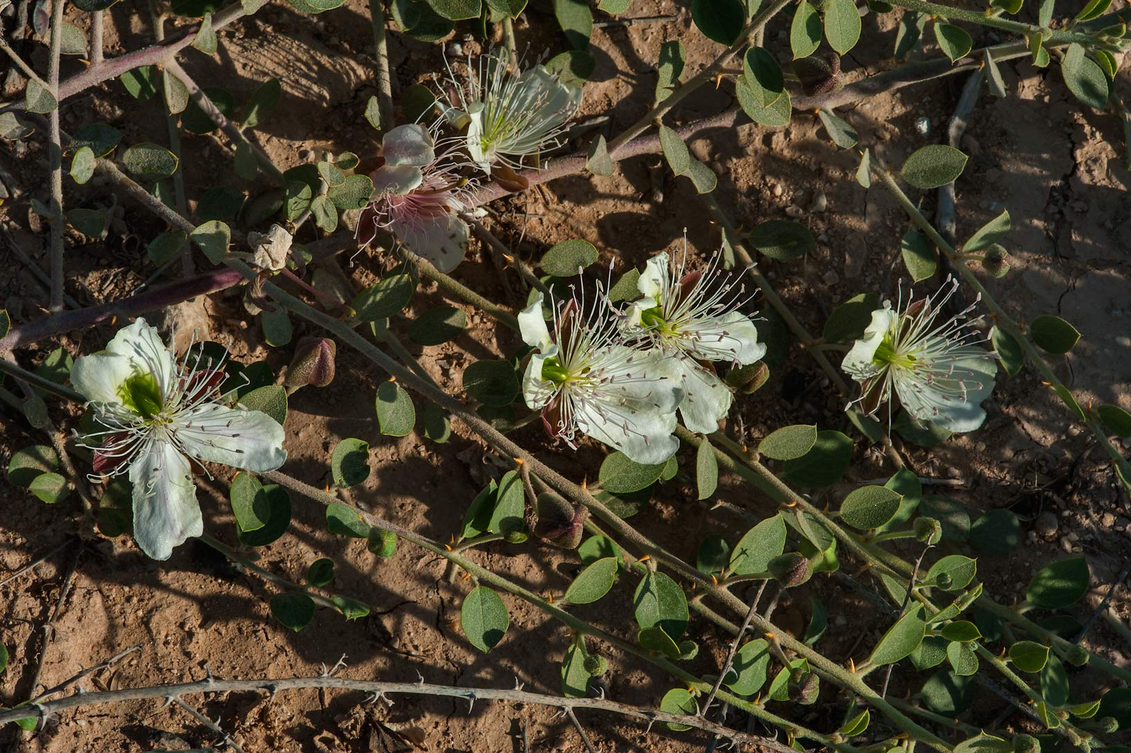 Long shoots of Caper plant (Capparis spinosa) in...Bin Husayn near Simaisma. Qatar