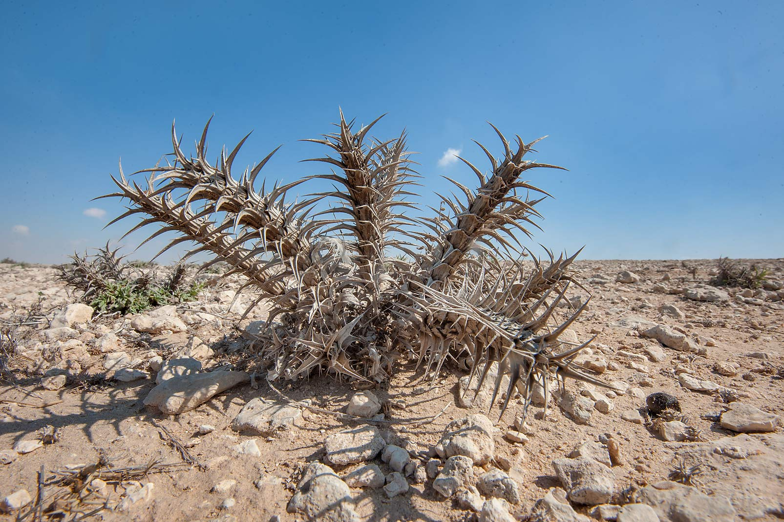 Dry Eyelash plant (Blepharis ciliaris, local...of a road to Al Numan. Northern Qatar
