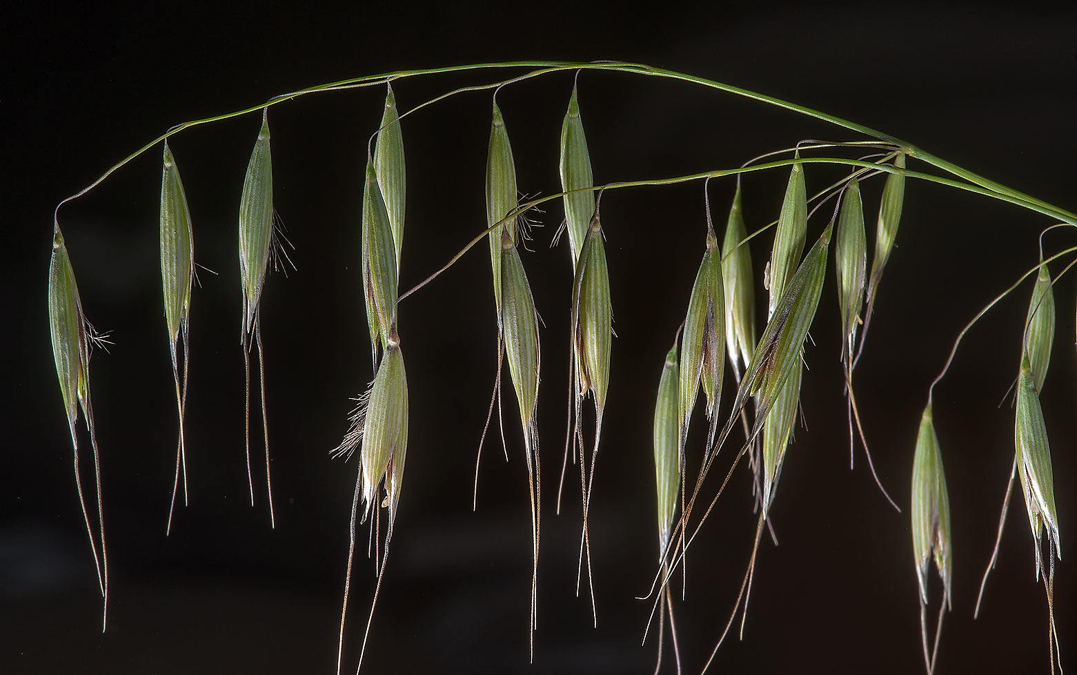 Spikelet of winter wild oat (Avena sterilis...Al Sham St. in West Bay. Doha, Qatar