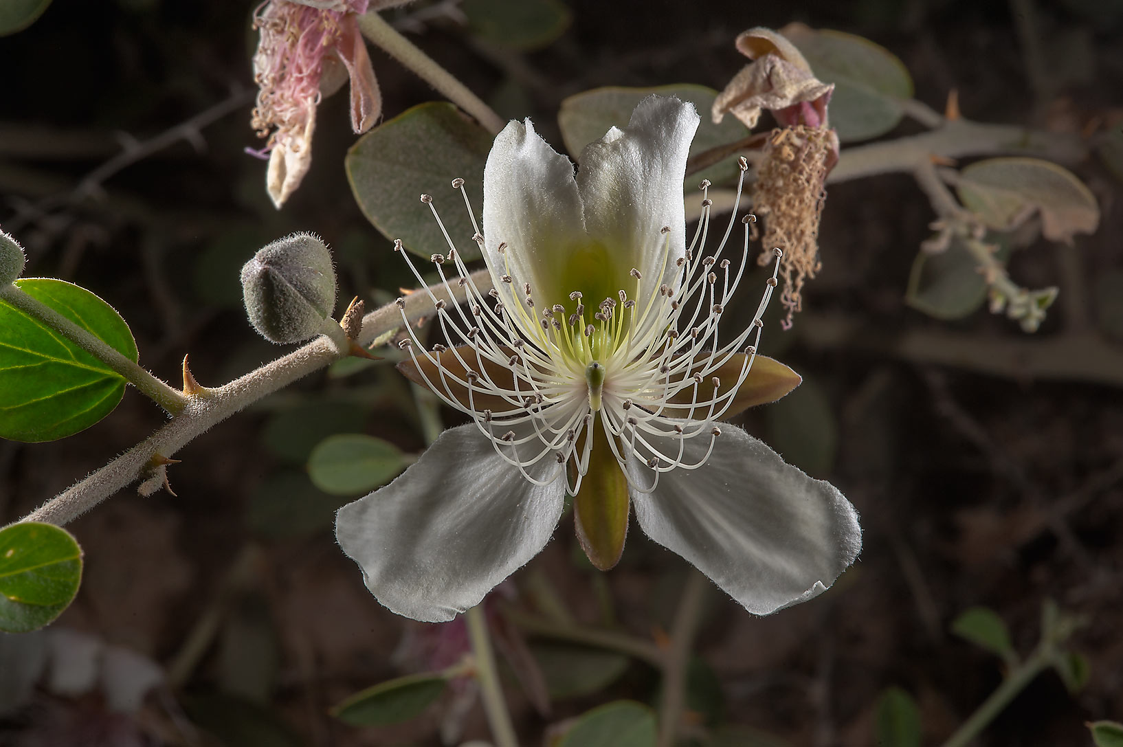 Butterfly shaped flower of Caper plant (Capparis...Bin Husayn near Simaisma. Qatar