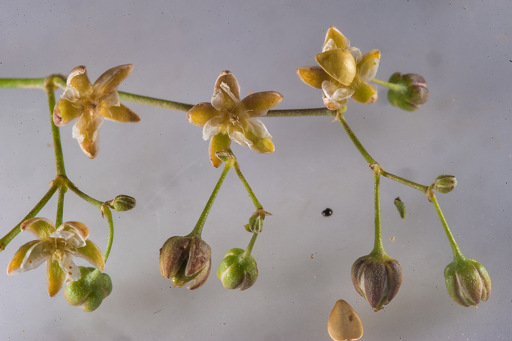Opened seed capsules of spurry (Spergula fallax...Husayn near Simaisma. Northern Qatar