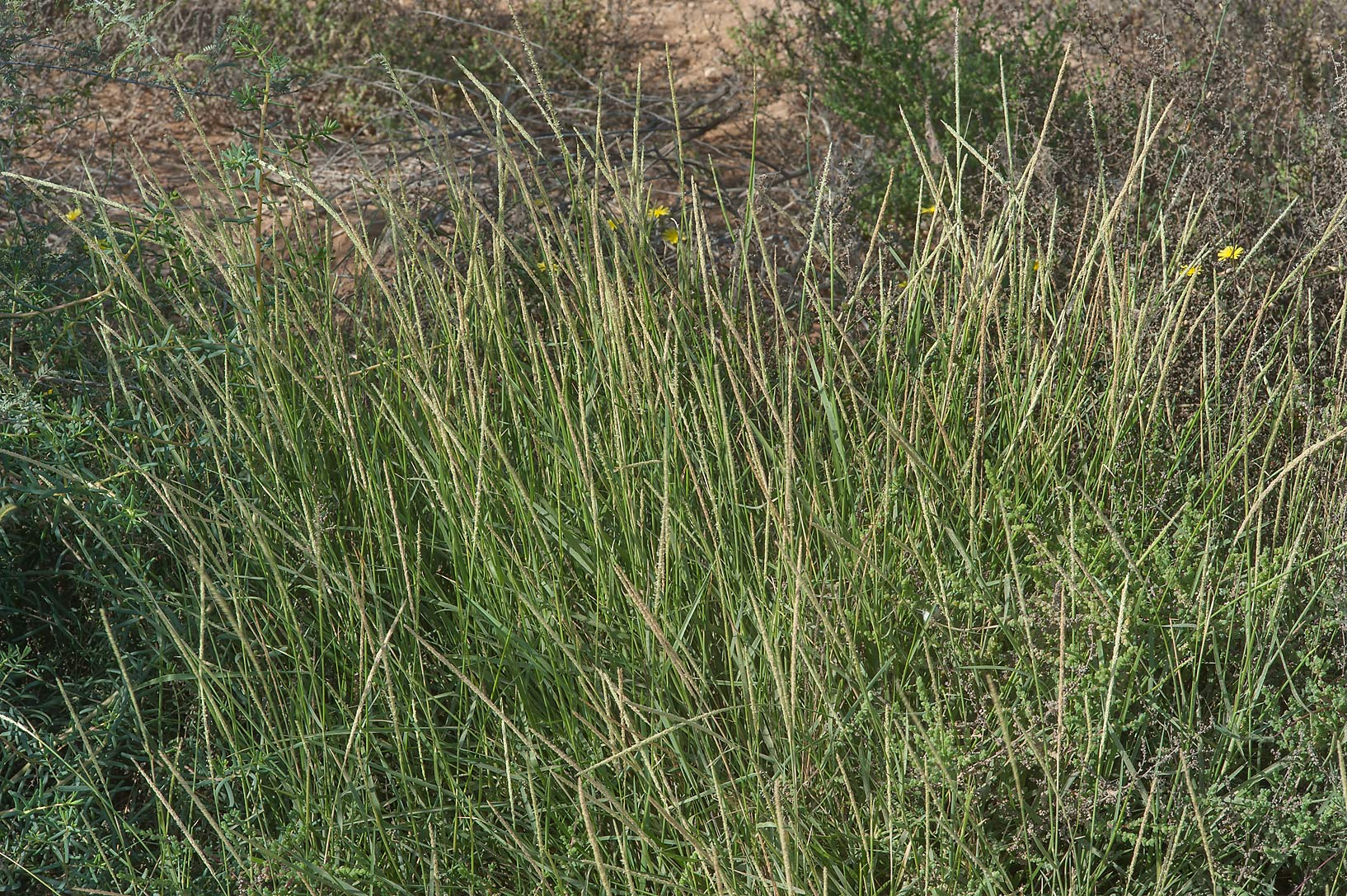 Grass Sporobolus spicatus with narrow cylindrical...water stream north from Al Khor. Qatar