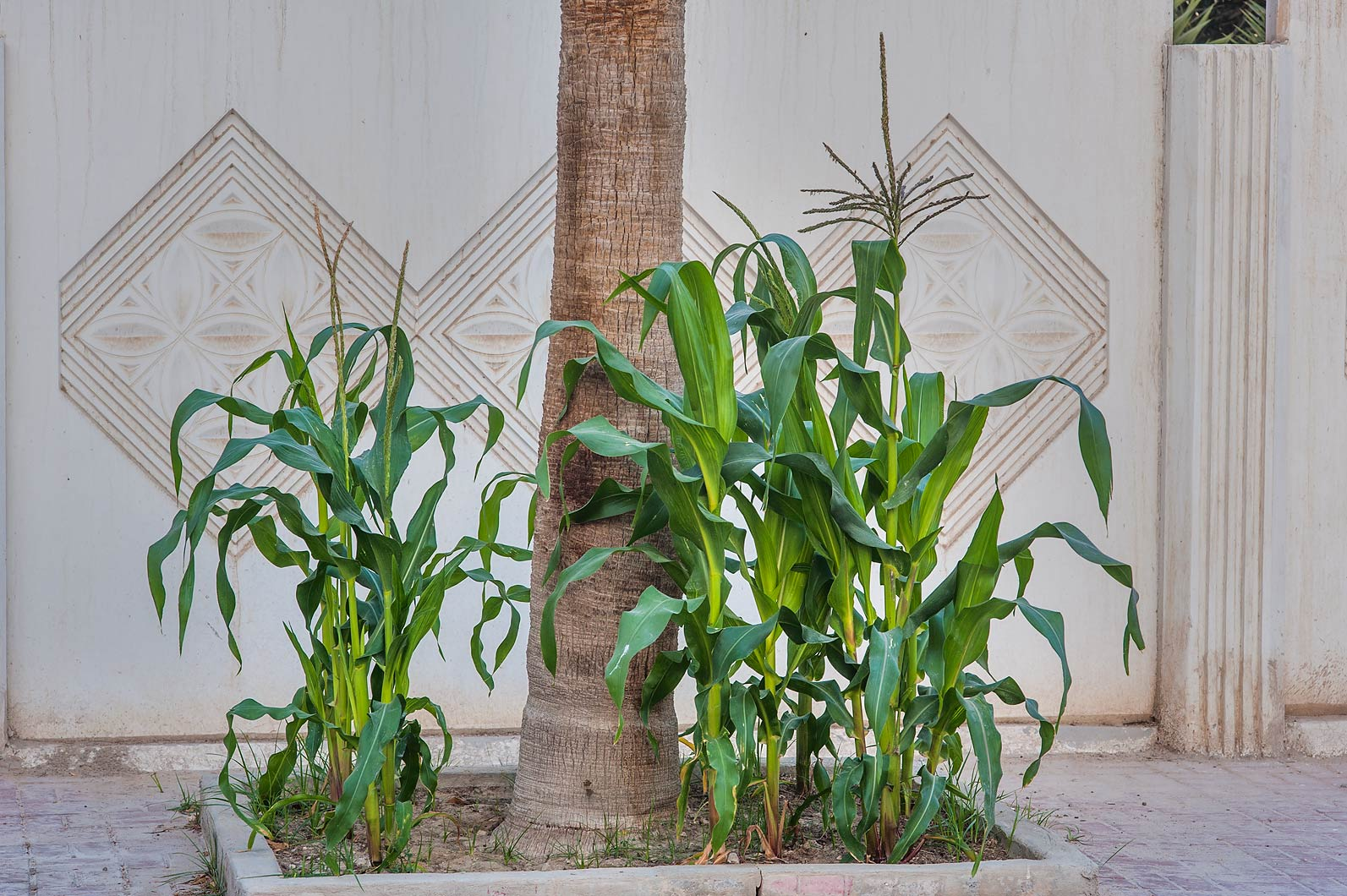 Sweet corn (Zea mays) on Ibn Nusaih St. in Onaiza area. Doha, Qatar